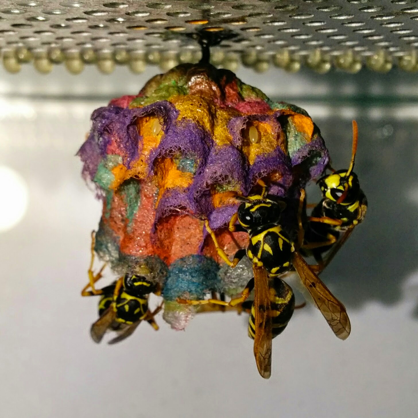 Wasp nests photo