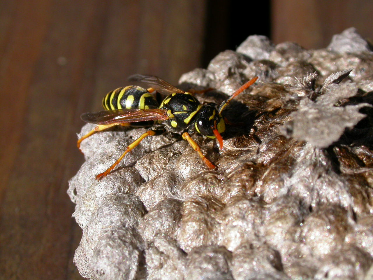 Wasp, Feeding, Fly, Hornet, Insect, HQ Photo