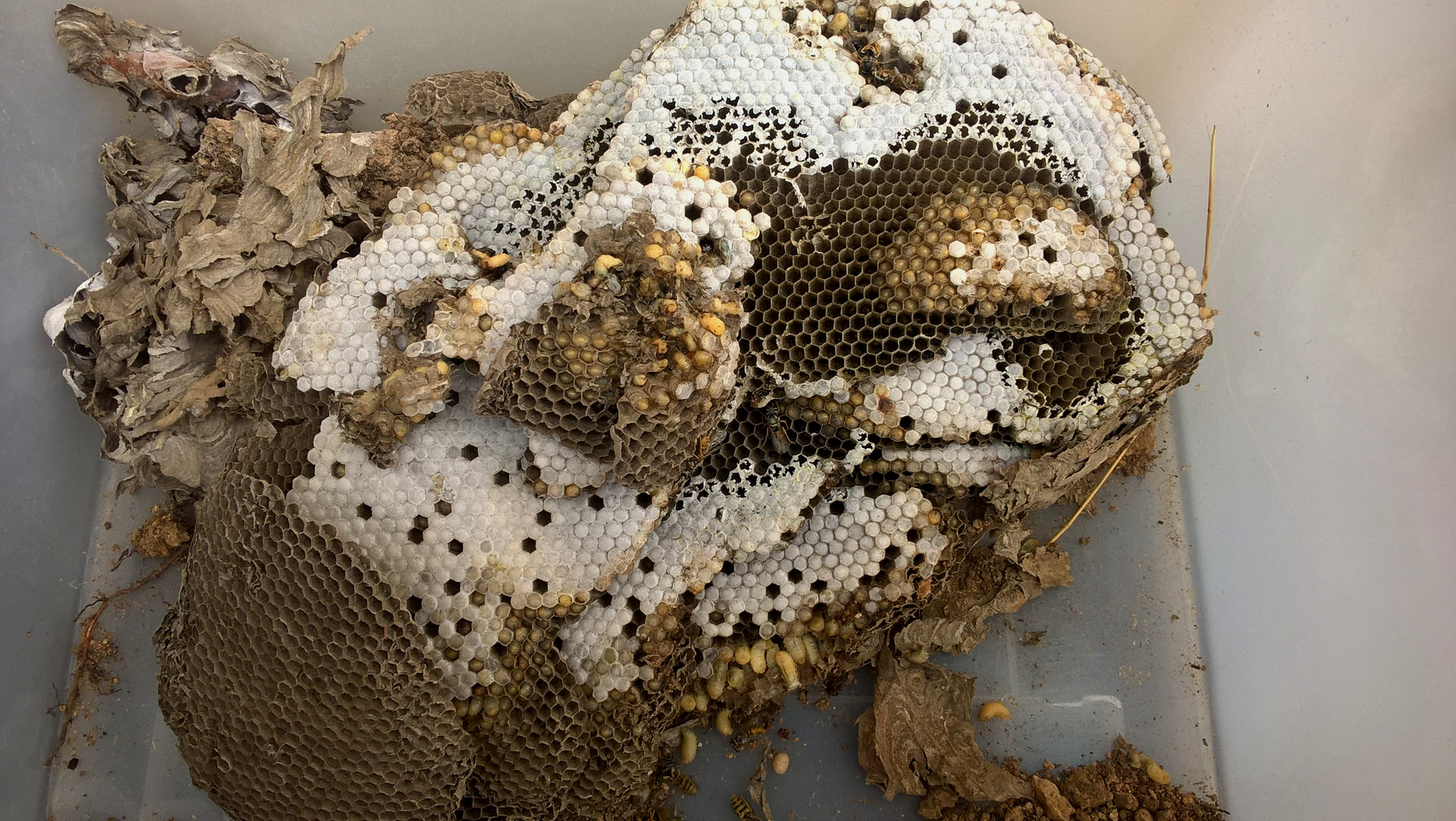 Free photo: Wasp Nests - Nest, Nature, Nests - Free ...