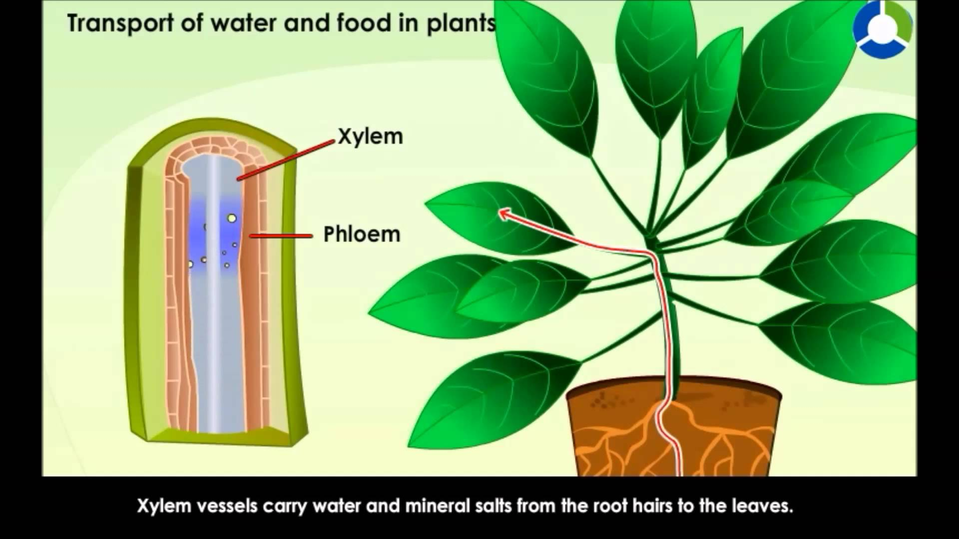 Transport of water and Food in Plants - YouTube