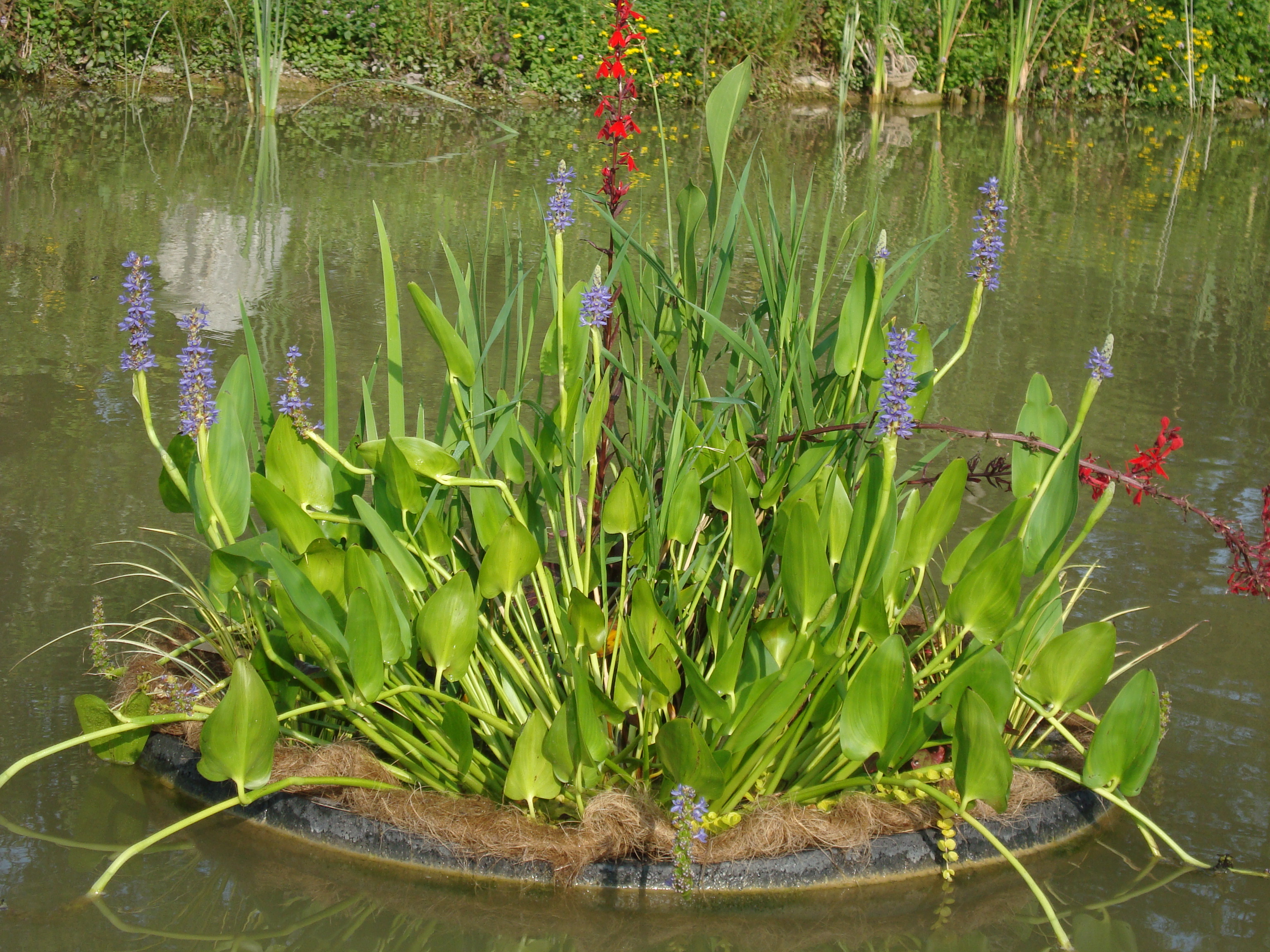 Water plant pickerel rush are blue flowering aquatic plants for ponds