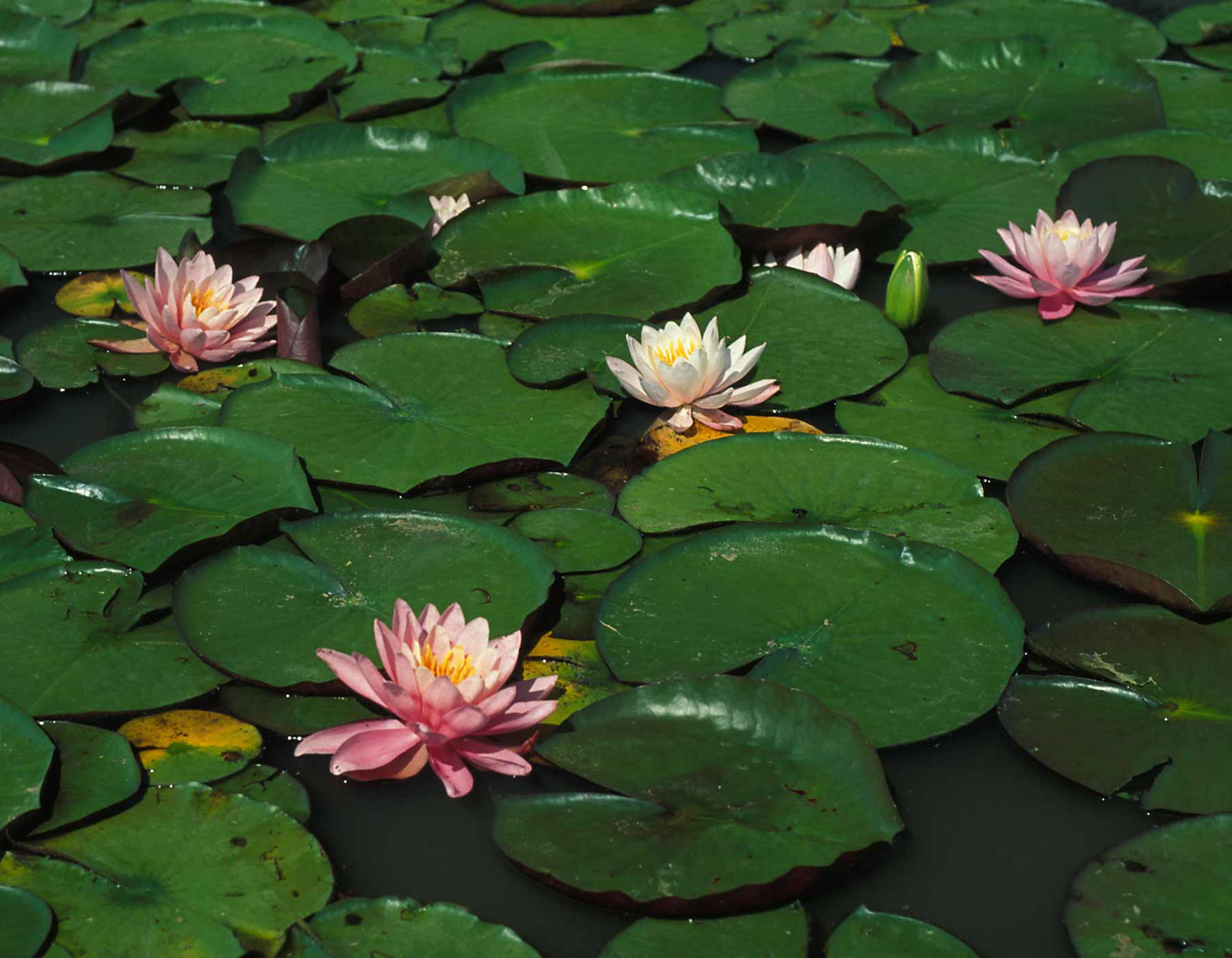 Water Lilies | MDC Discover Nature