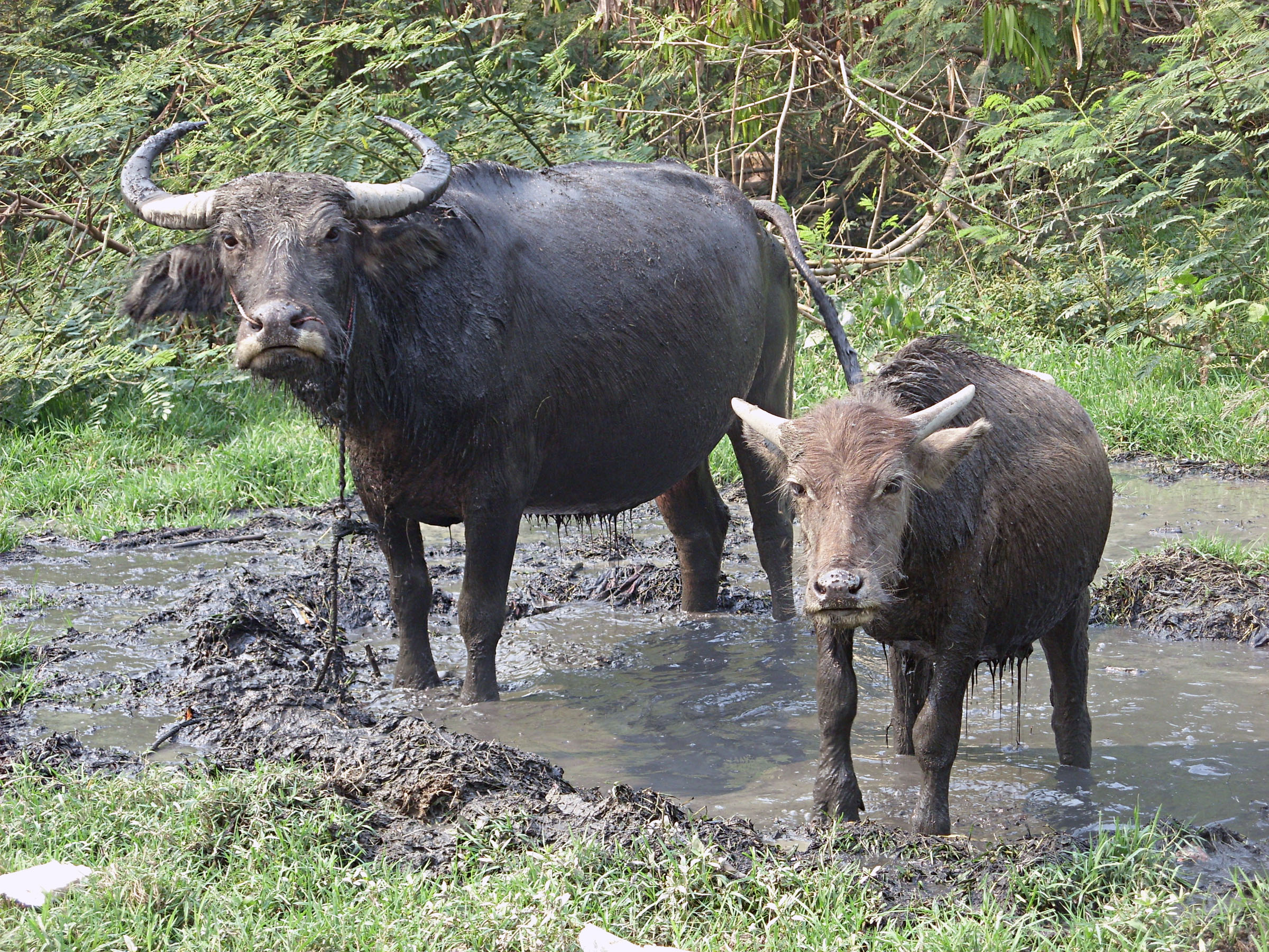 Water Buffalo, Buffalo, Bull, Calf, Male, HQ Photo