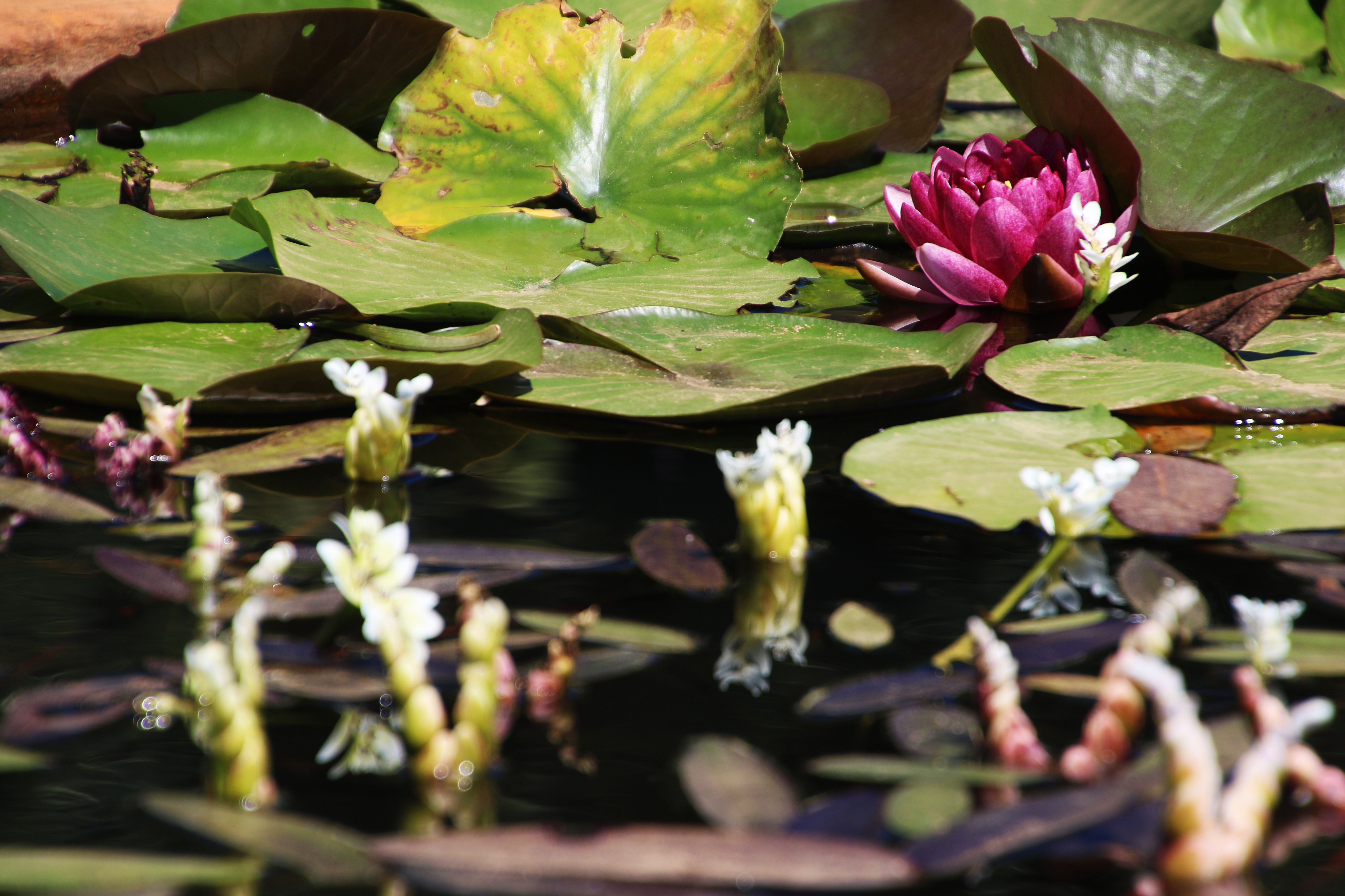 Water lilies blooming in a pond photo