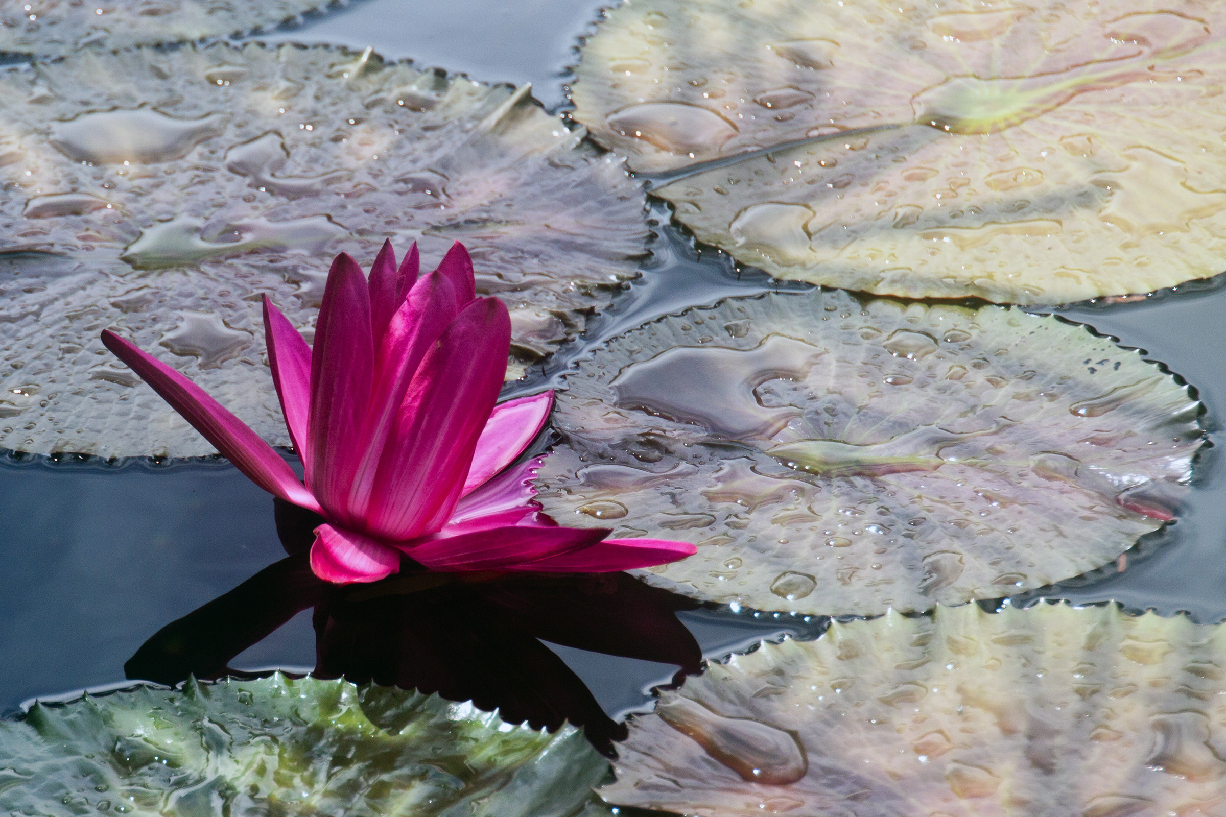 Water lilly, Aquatic, Postcard, Nature, Nymphaea, HQ Photo