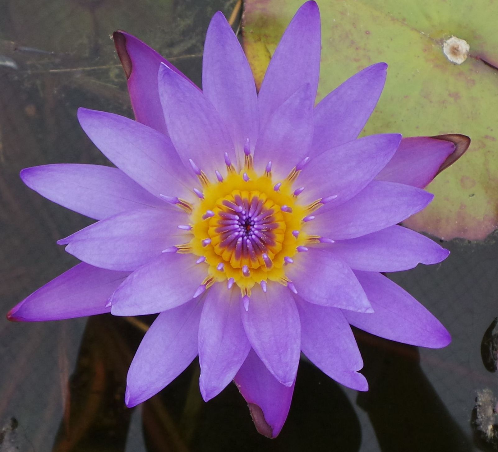 Martin Randig Tropical Water Lily - Woodvale Fish & Lily Farm Perth