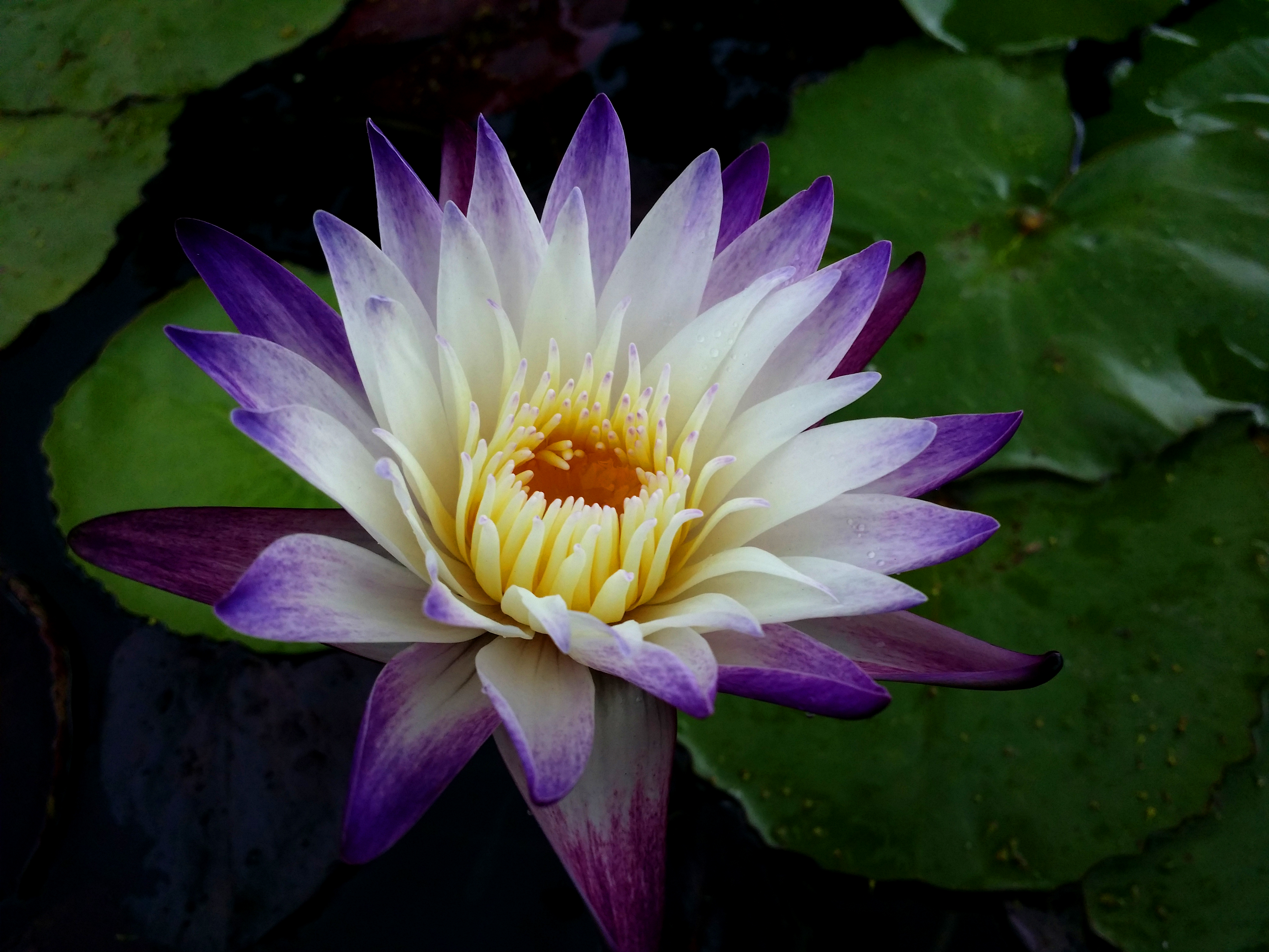 Free photo water lily plant pond pink free download jooinn water lily izmirmasajfo