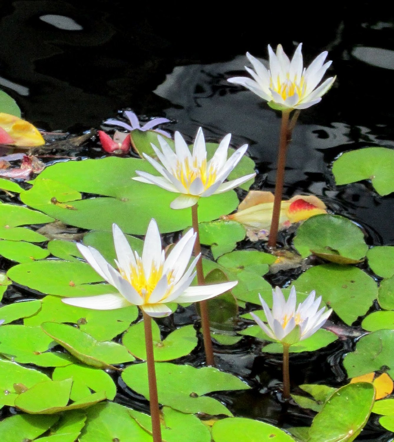 White Tropical Water Lily – Water Garden Live Pond Plant | Aquarium ...