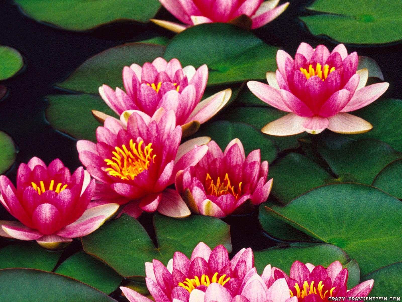 Free Photo Water Lily Nature Lily Spring Free Download Jooinn