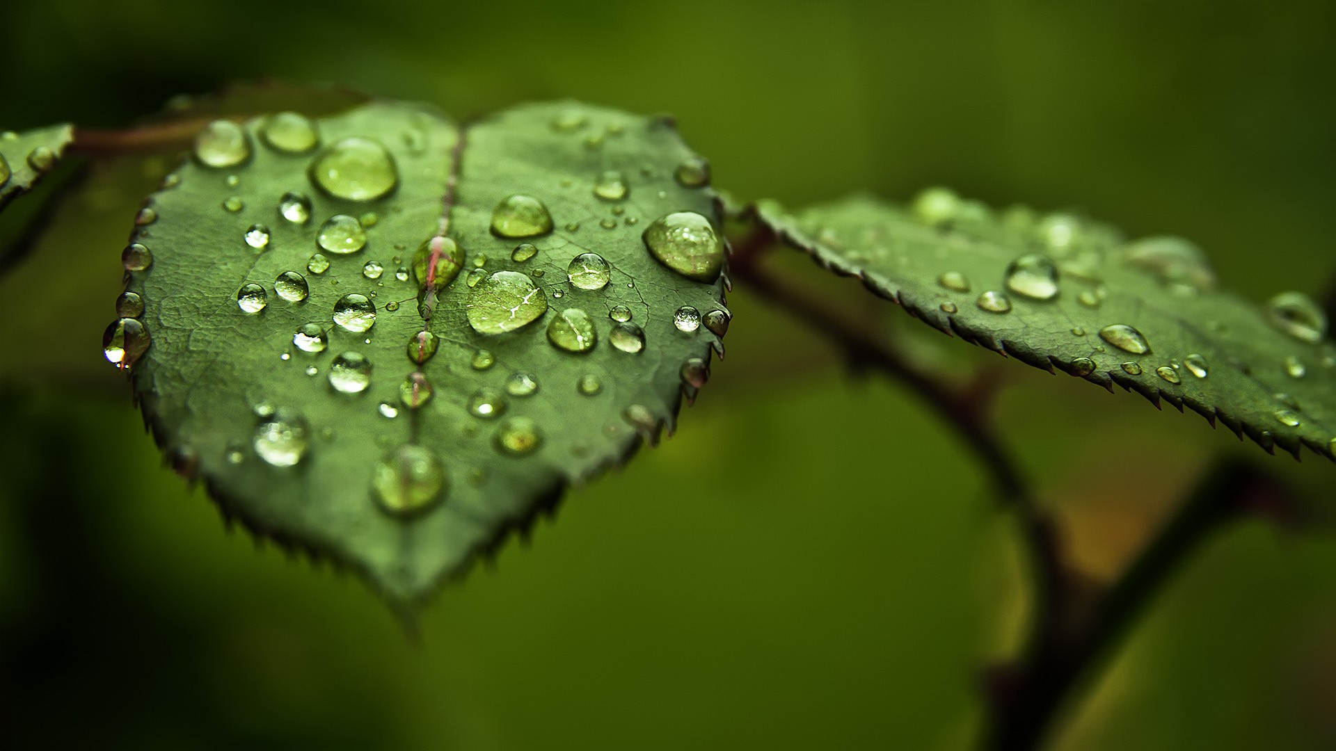 Water Drops on Leaves - Wallpaper #34667
