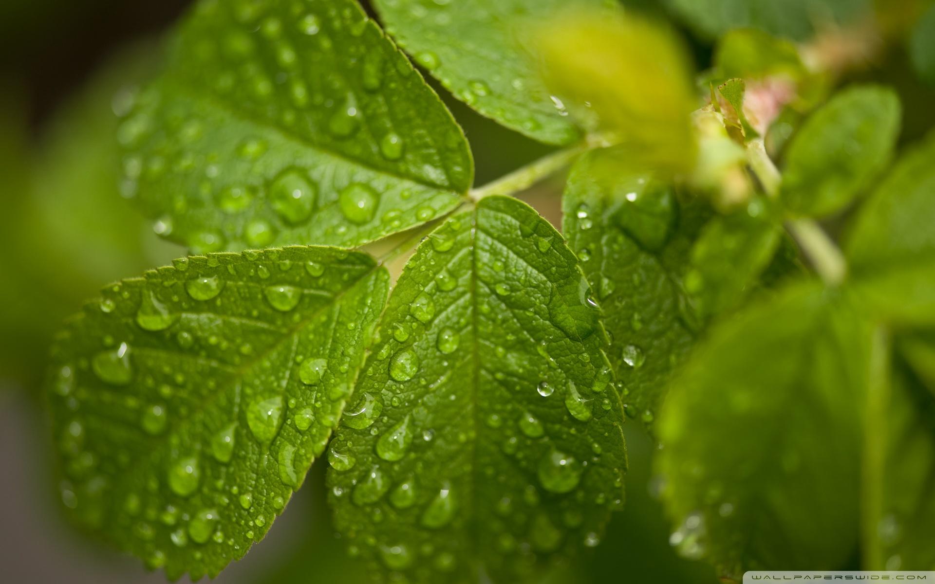 Water Drops On Leaves ❤ 4K HD Desktop Wallpaper for 4K Ultra HD TV ...