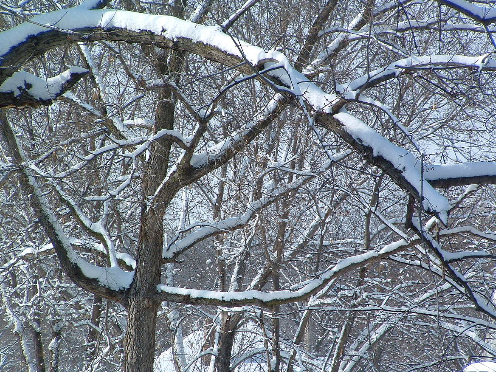 Weighted Limb, Branches, Cold, Con0207, Snow, HQ Photo