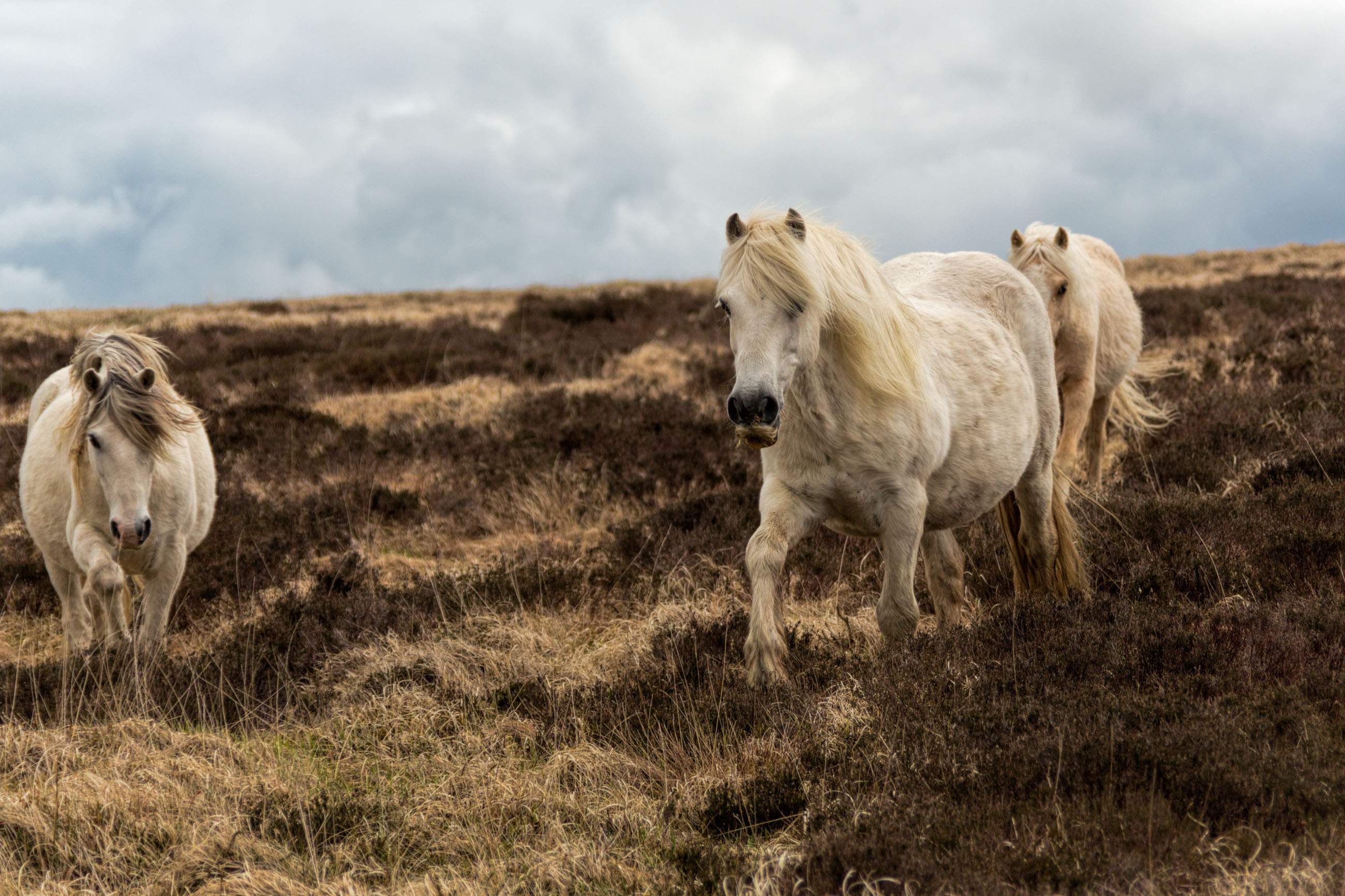 Welsh horses in spring photo
