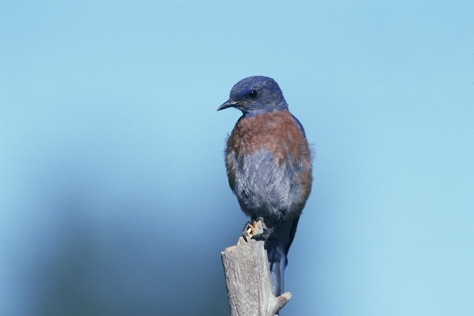 Western Bluebird, Animal, Bird, Blue, Nature, HQ Photo