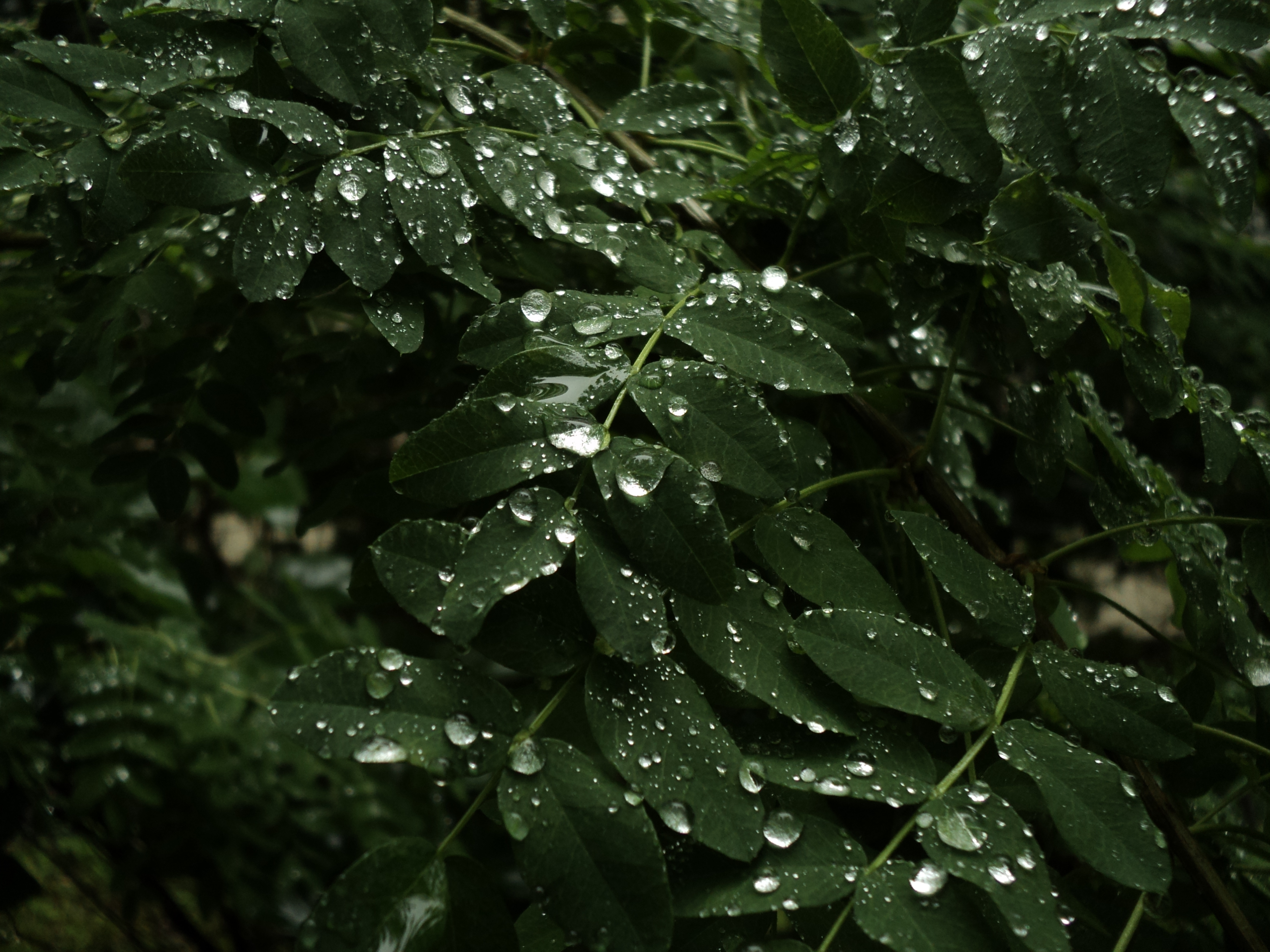 Wet leaves, Droplets, Green, Leaves, Raindrops, HQ Photo