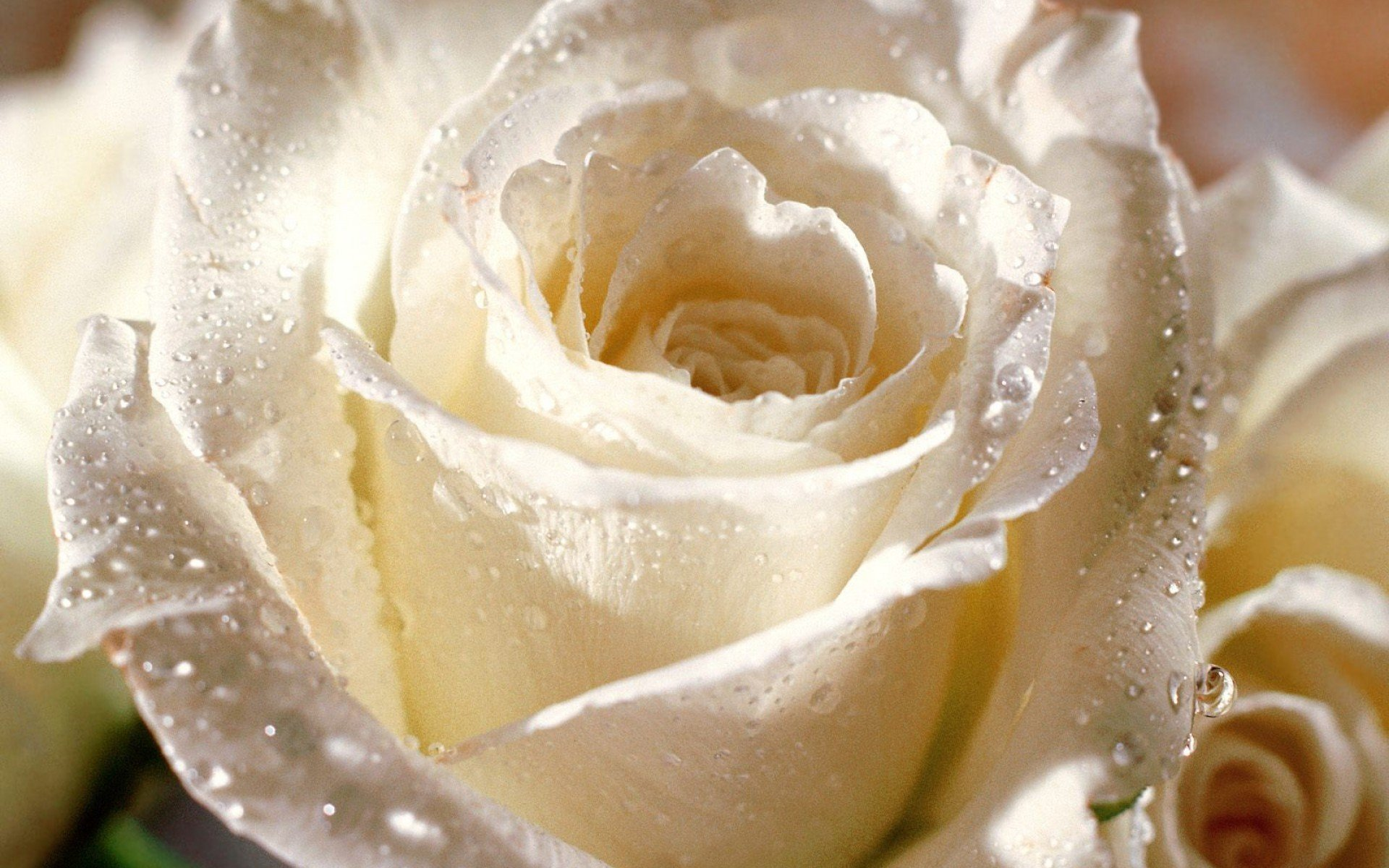 Wet white rose photo