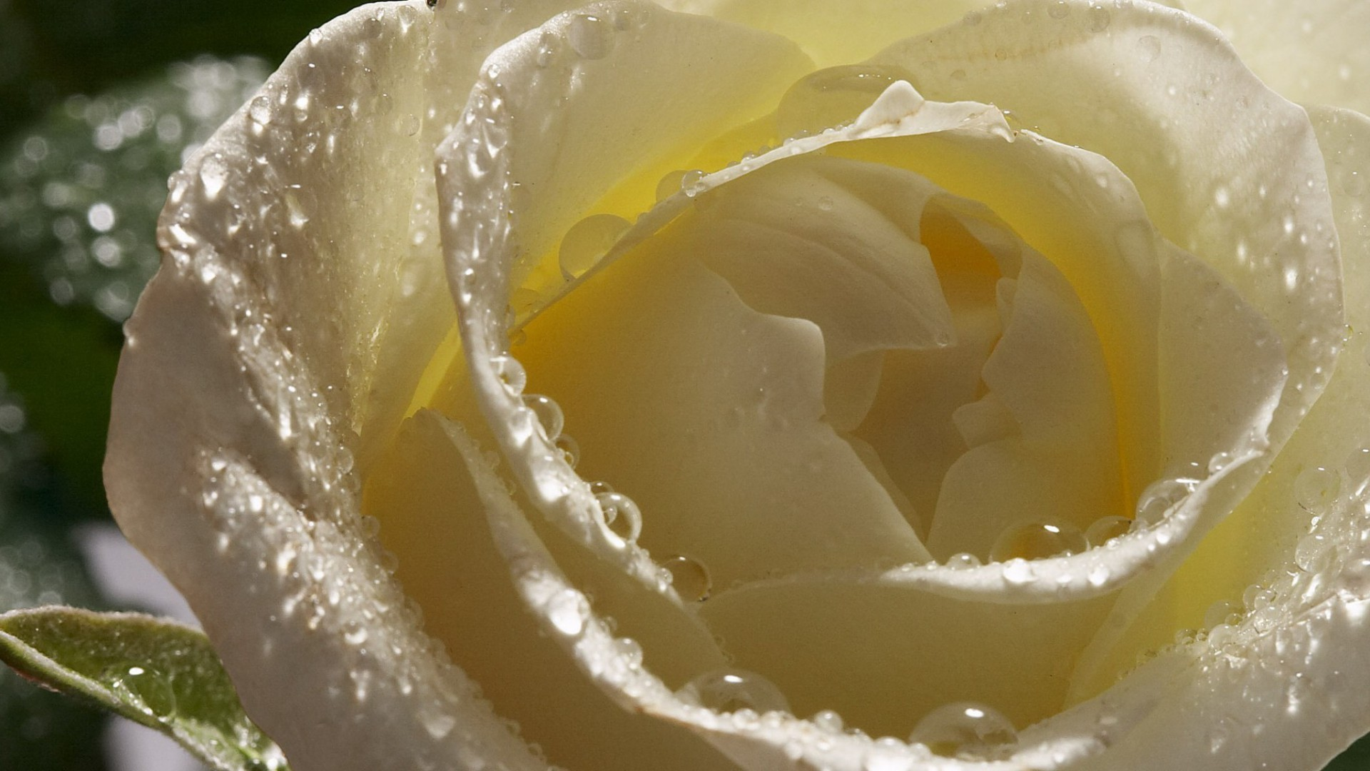 Wet white rose closeup wallpapers and images - wallpapers, pictures ...