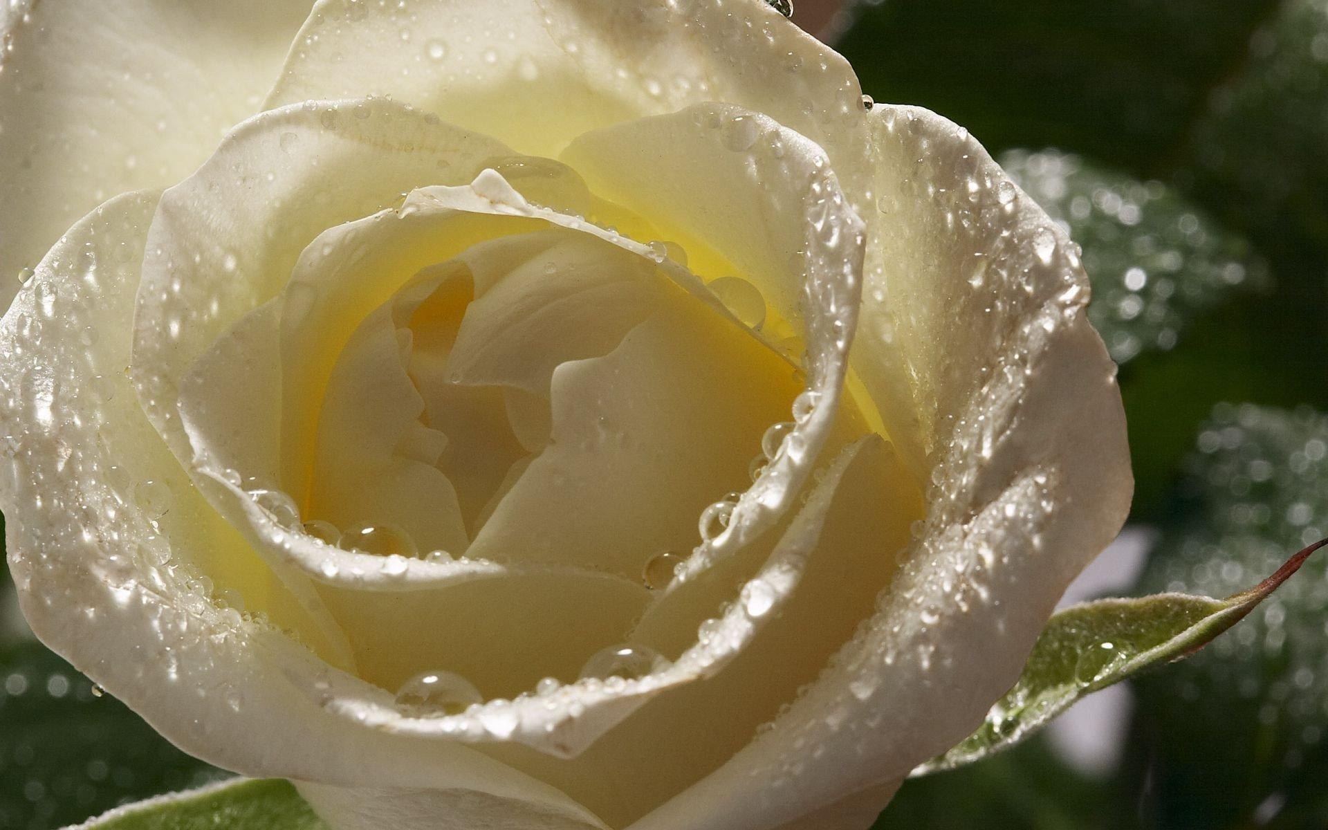Wet White Rose 523369 - WallDevil