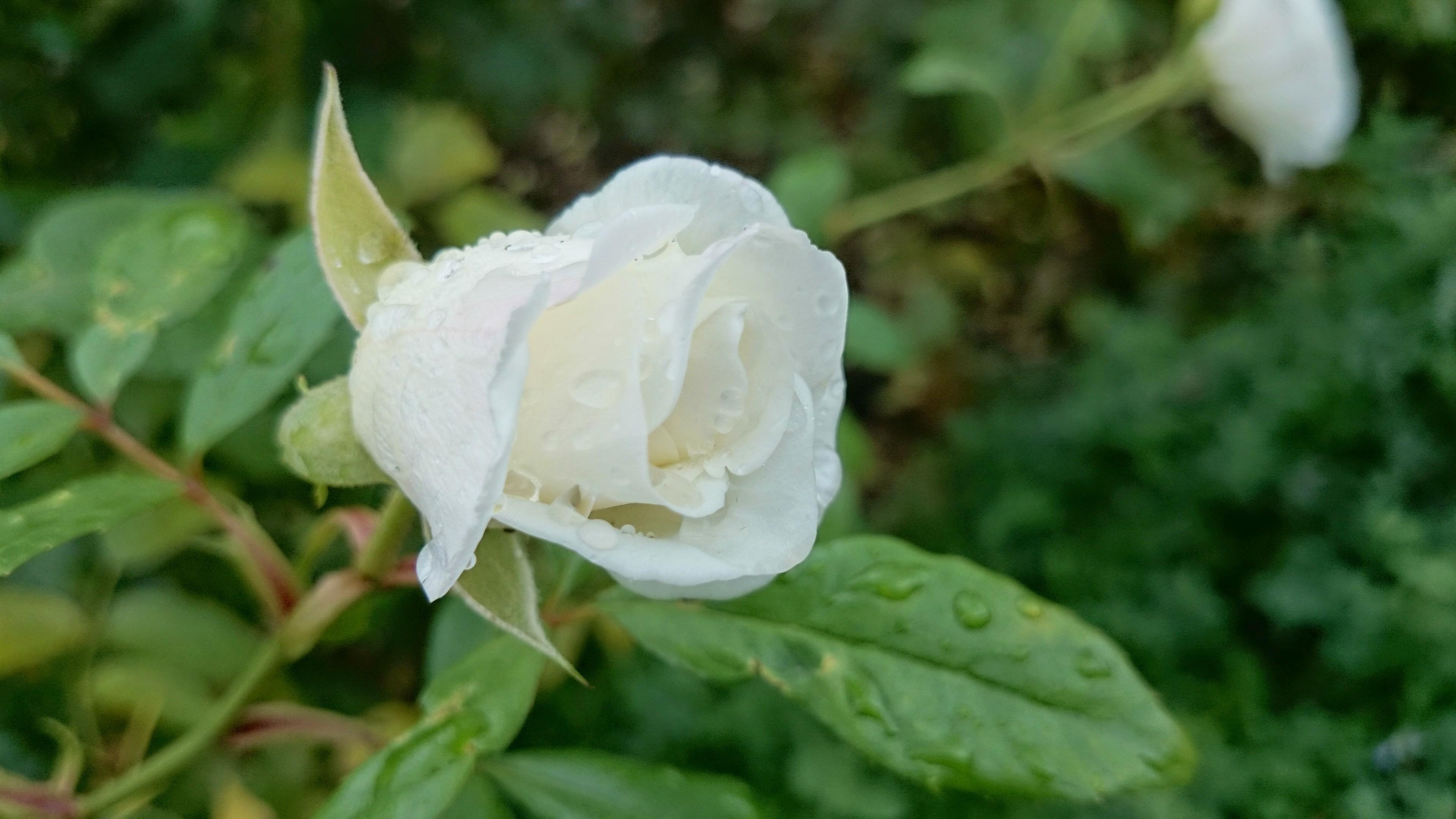 Wet White Rose, Aroma, Hue, Wet, Spring, HQ Photo
