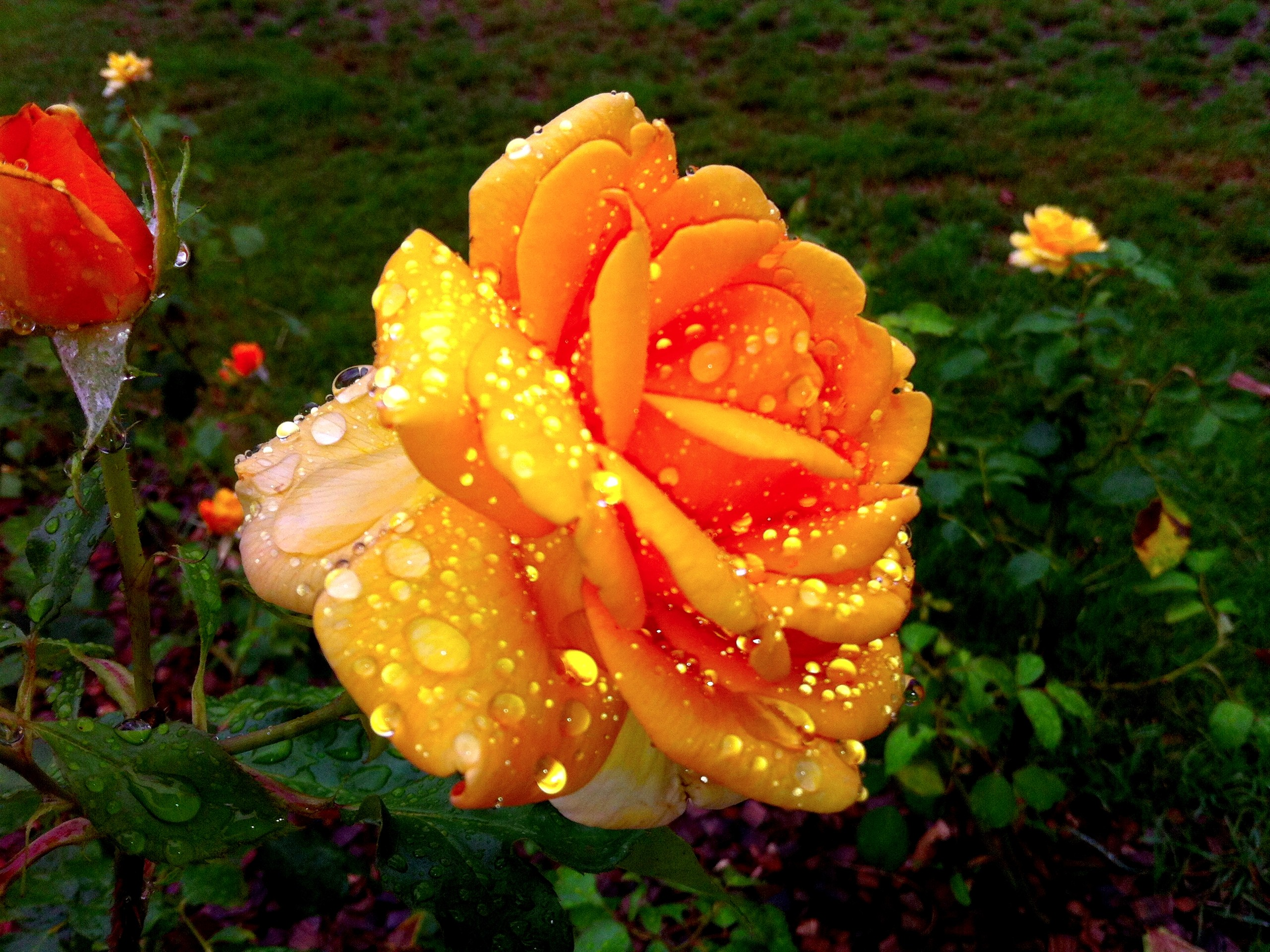 Flowers: WET ROSE Drops Nature Yellow HD Wallpapers for HD 16:9 High ...