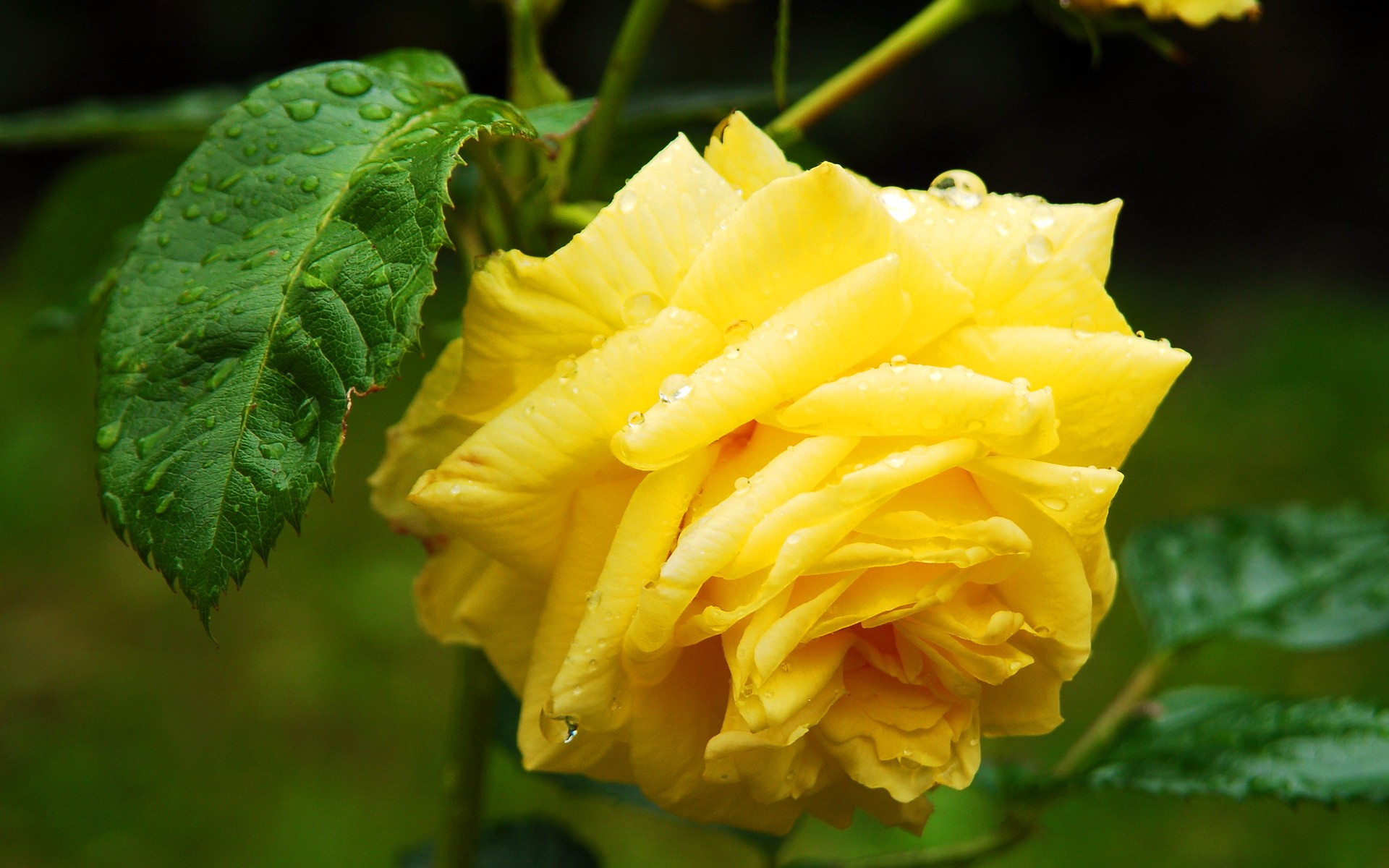 Lovely Water Beautiful Wet Yellow Flower Leaves Summer Rose Pretty ...