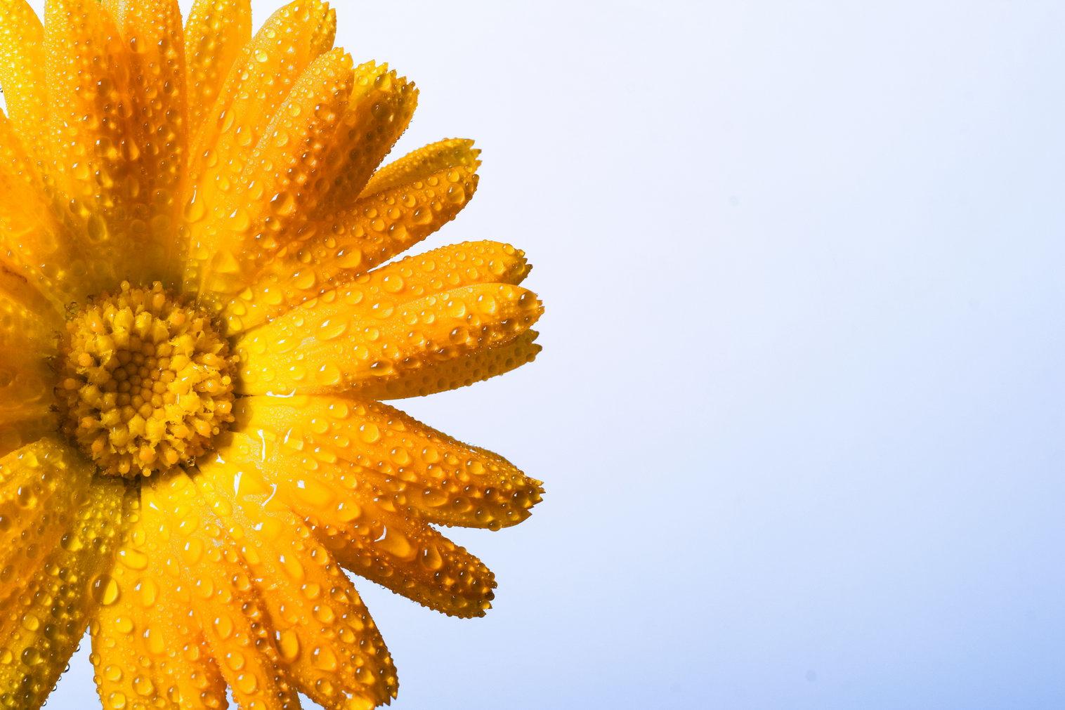 Wet yellow flower, Beautiful, Closeup, Flower, Nature, HQ Photo