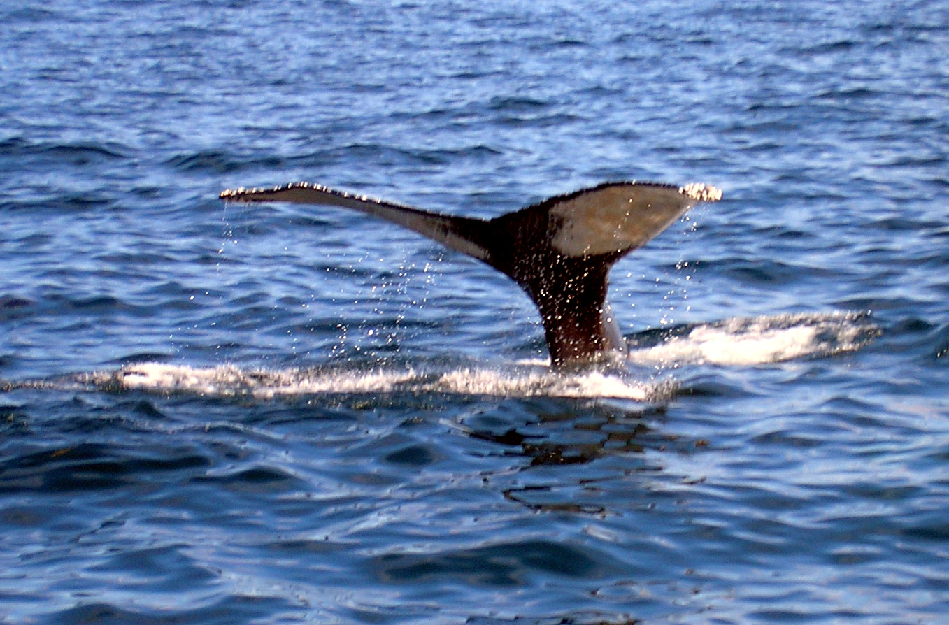 Whale of a tail, Boats, Bspo06, Ocean, Whales, HQ Photo