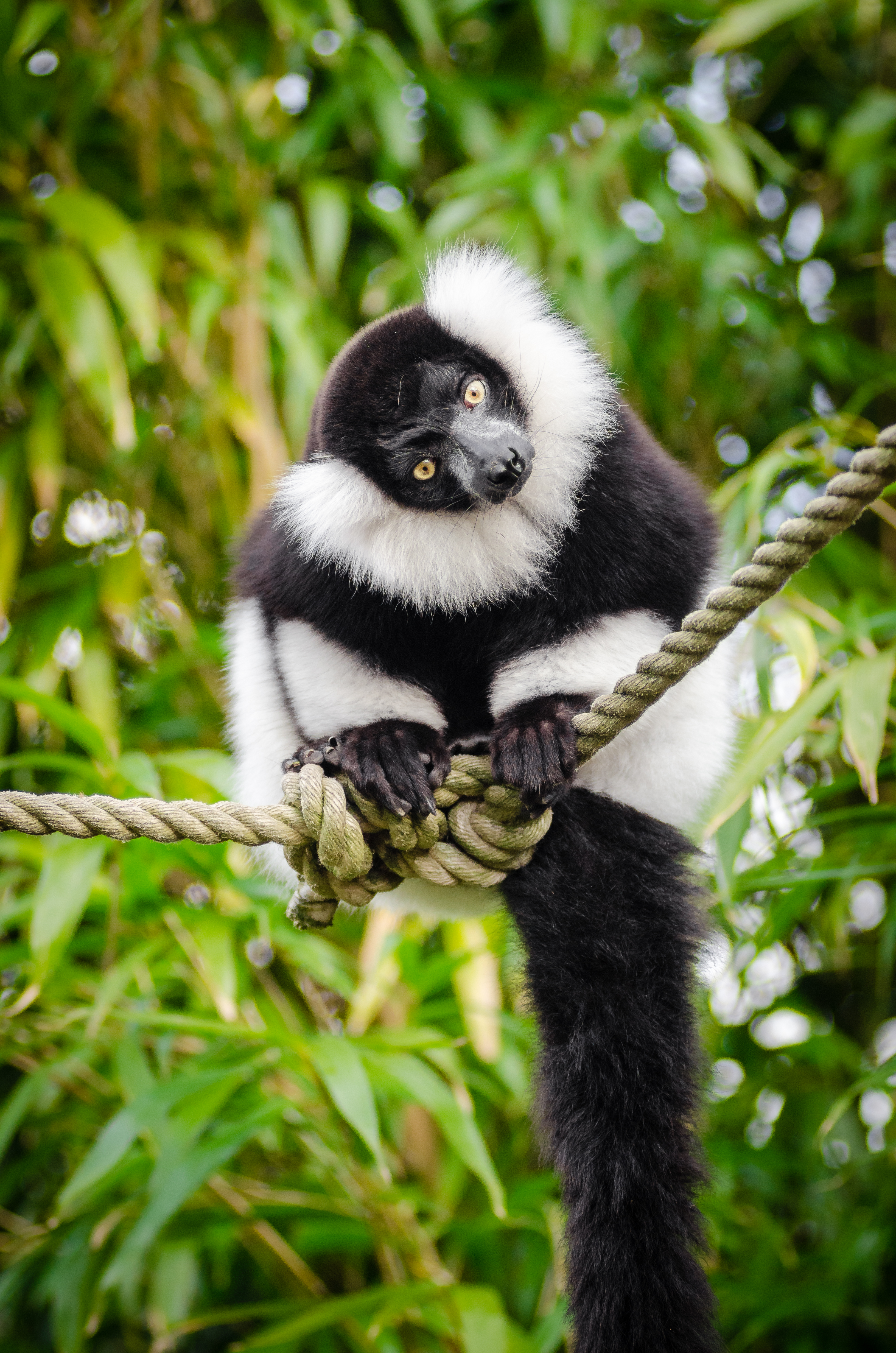 What do you have there?, Adorable, Ruffed, Lemur, Lemuren, HQ Photo