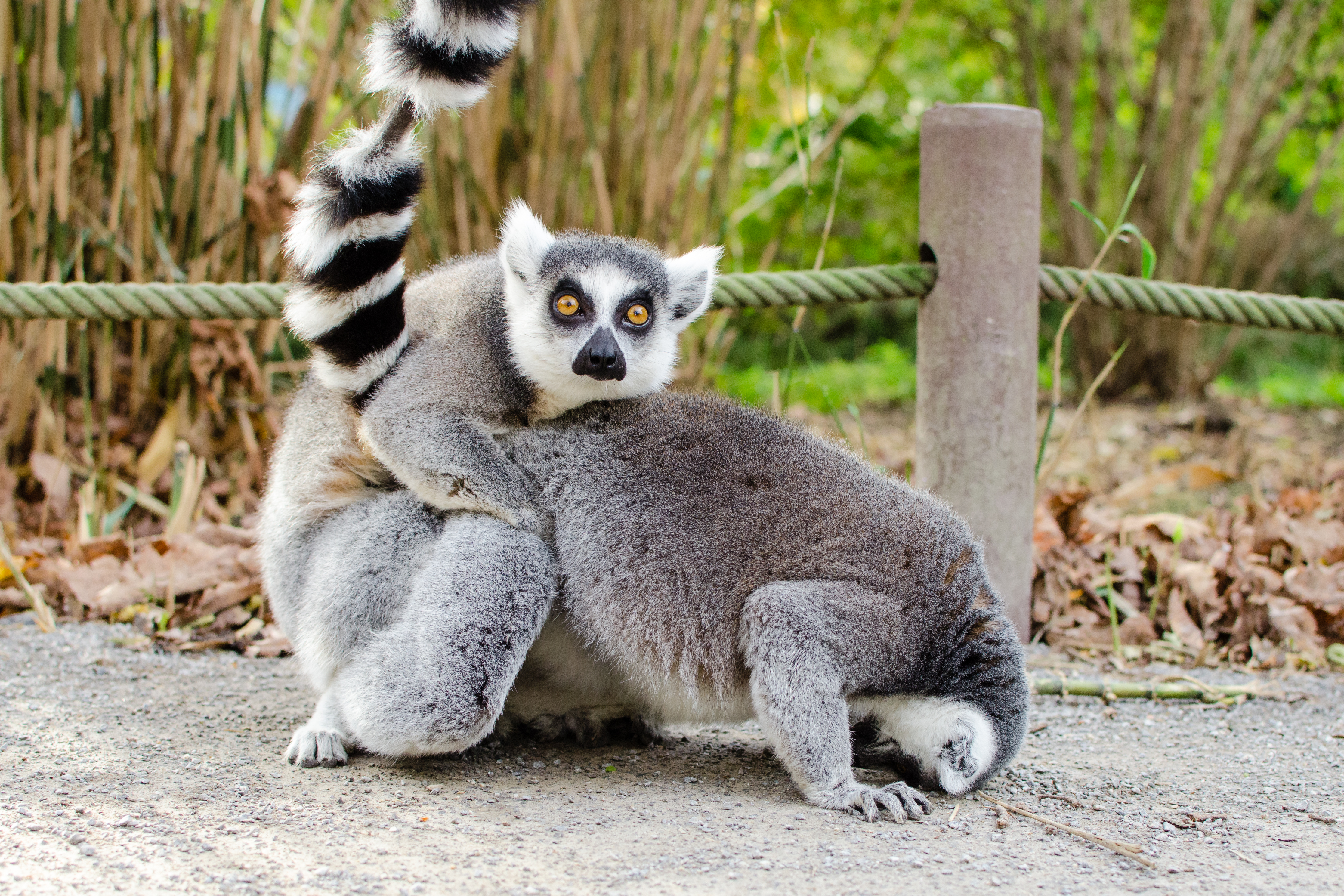 What? (Ring-tailed lemur), Adorable, Kattas, Tierpark, Tailed, HQ Photo