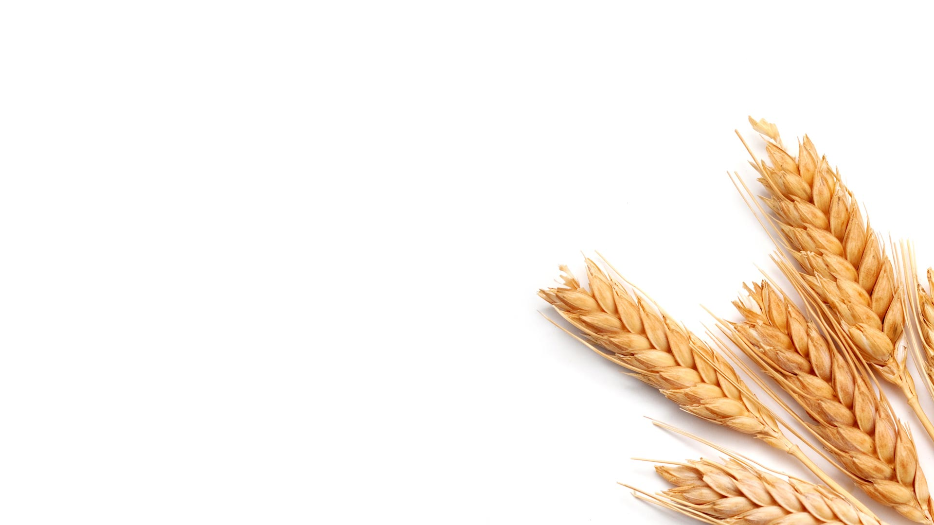 Spring Cereal Seeds | Barley | Oats | Spring Wheat | Mixed Grains ...