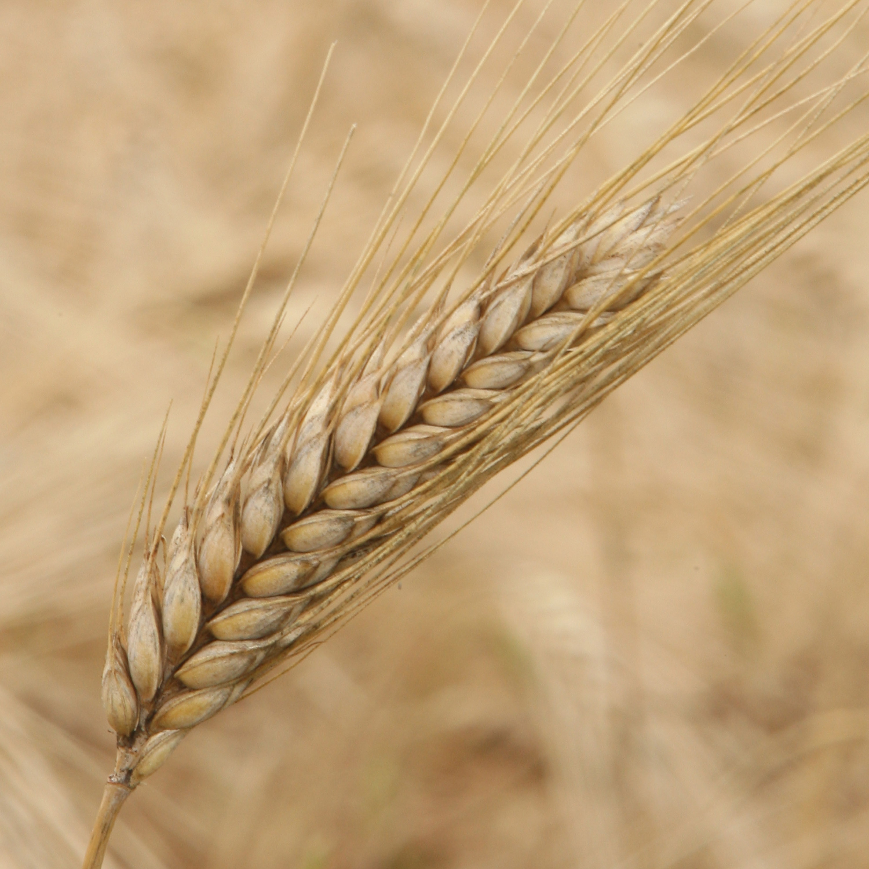 GM Foods: Monsanto Reaches Settlement With U.S. Wheat Farmers | Time
