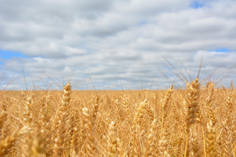 Wheat field under blue cloudy sky photo