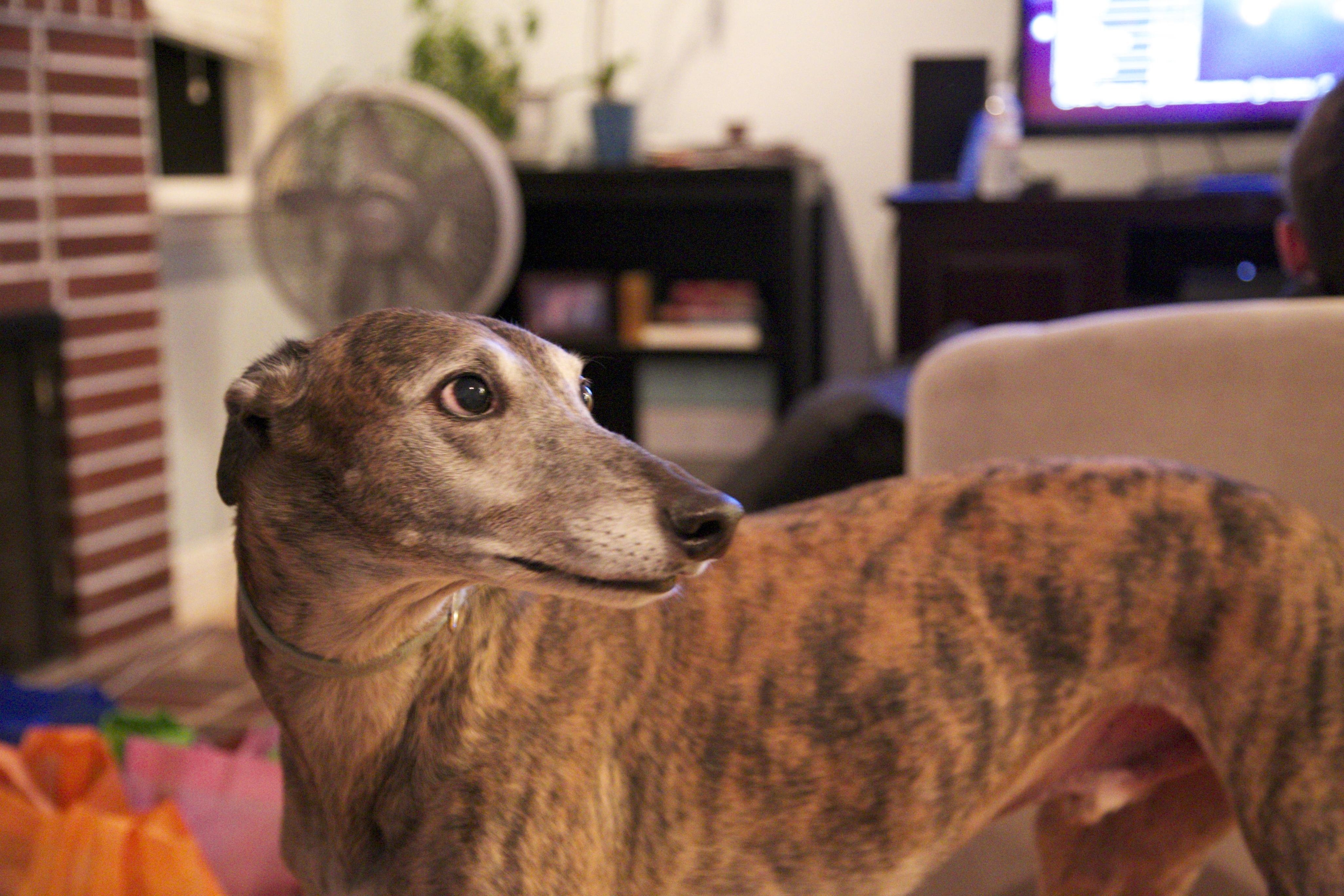 Whiskey the greyhound rescue photo