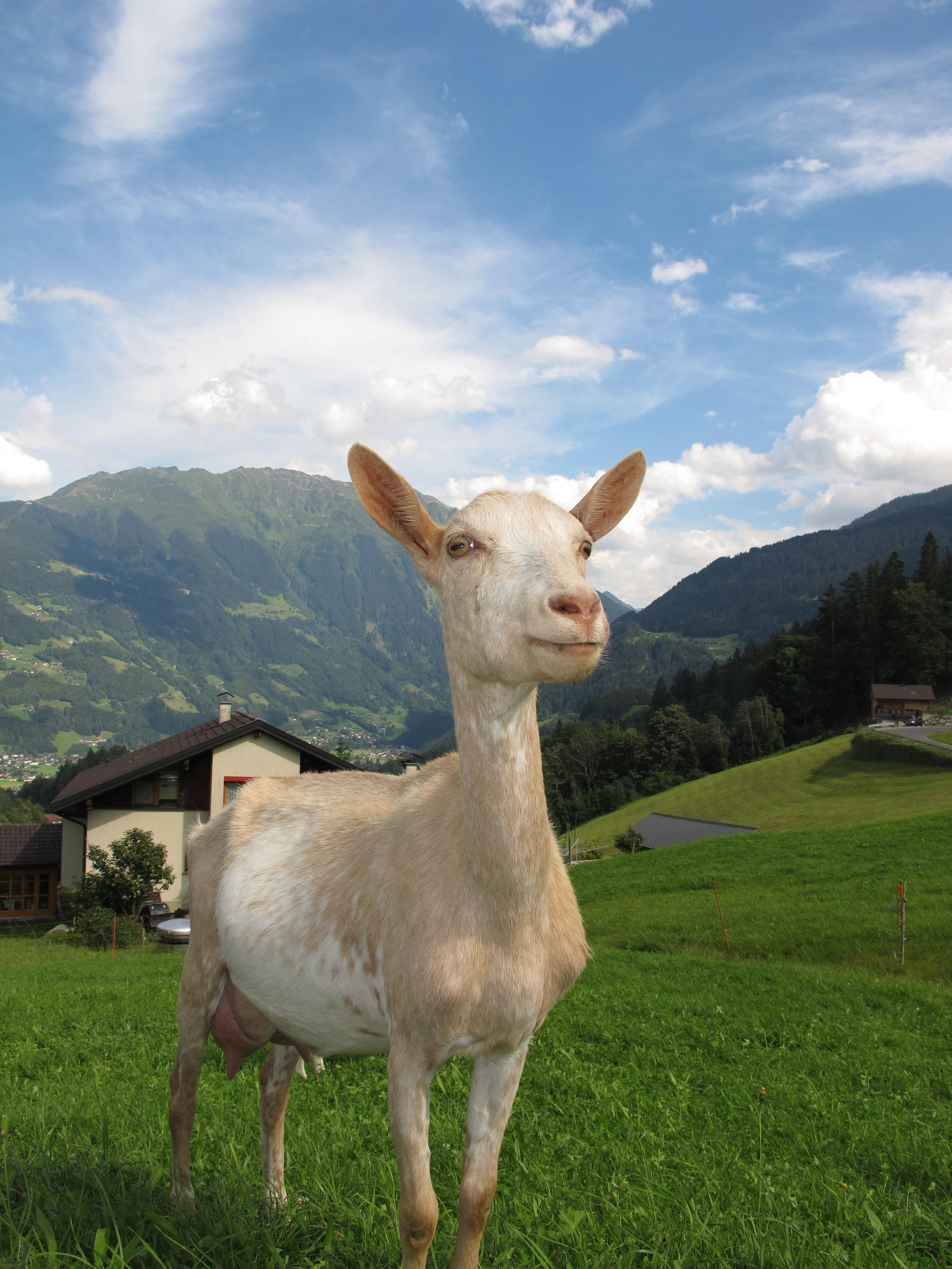 Whit and Beige Goat, Animal, Lawn, Sky, Rural, HQ Photo