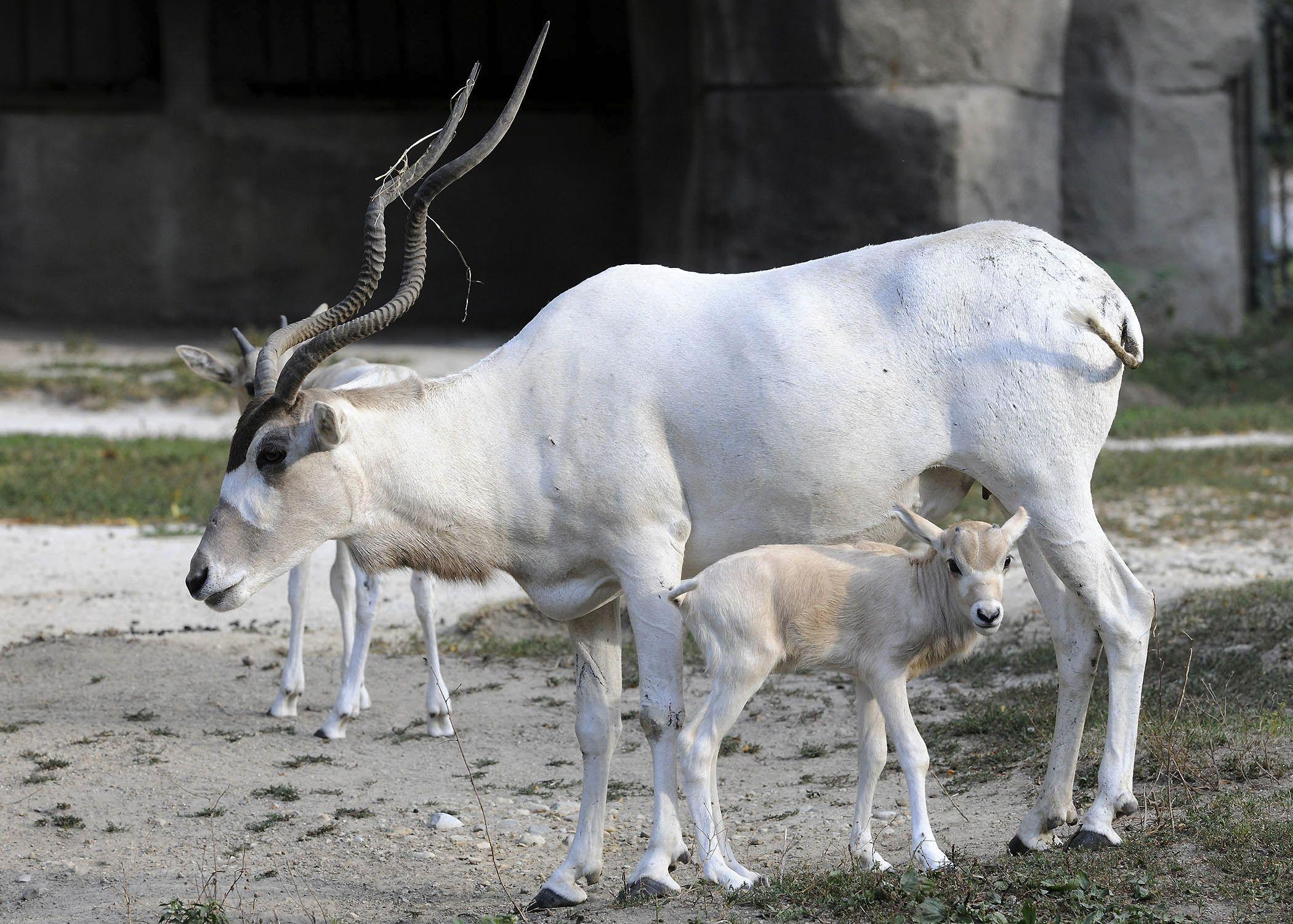 White addax photo
