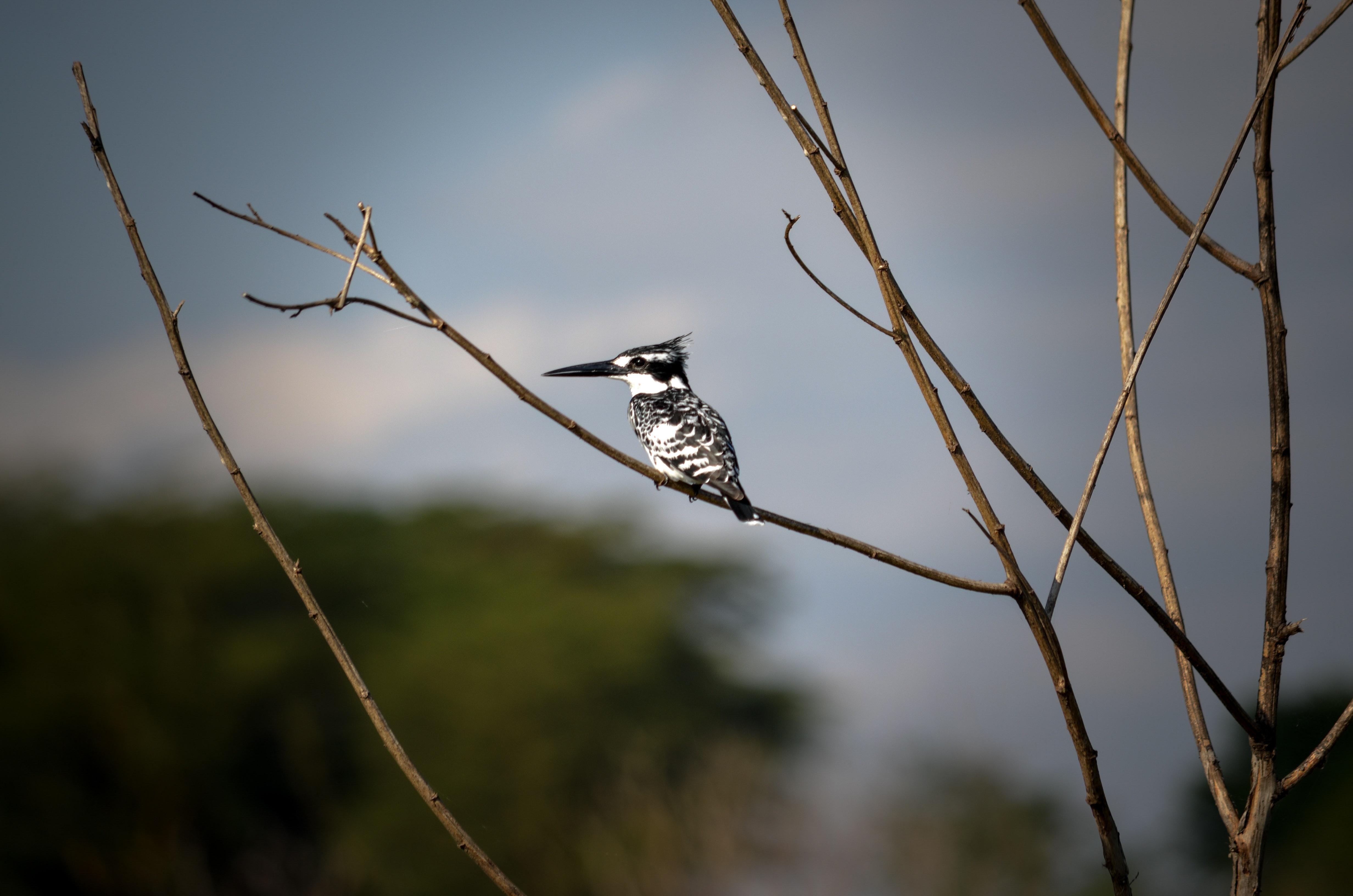 White and black bird on brown tree stem photo