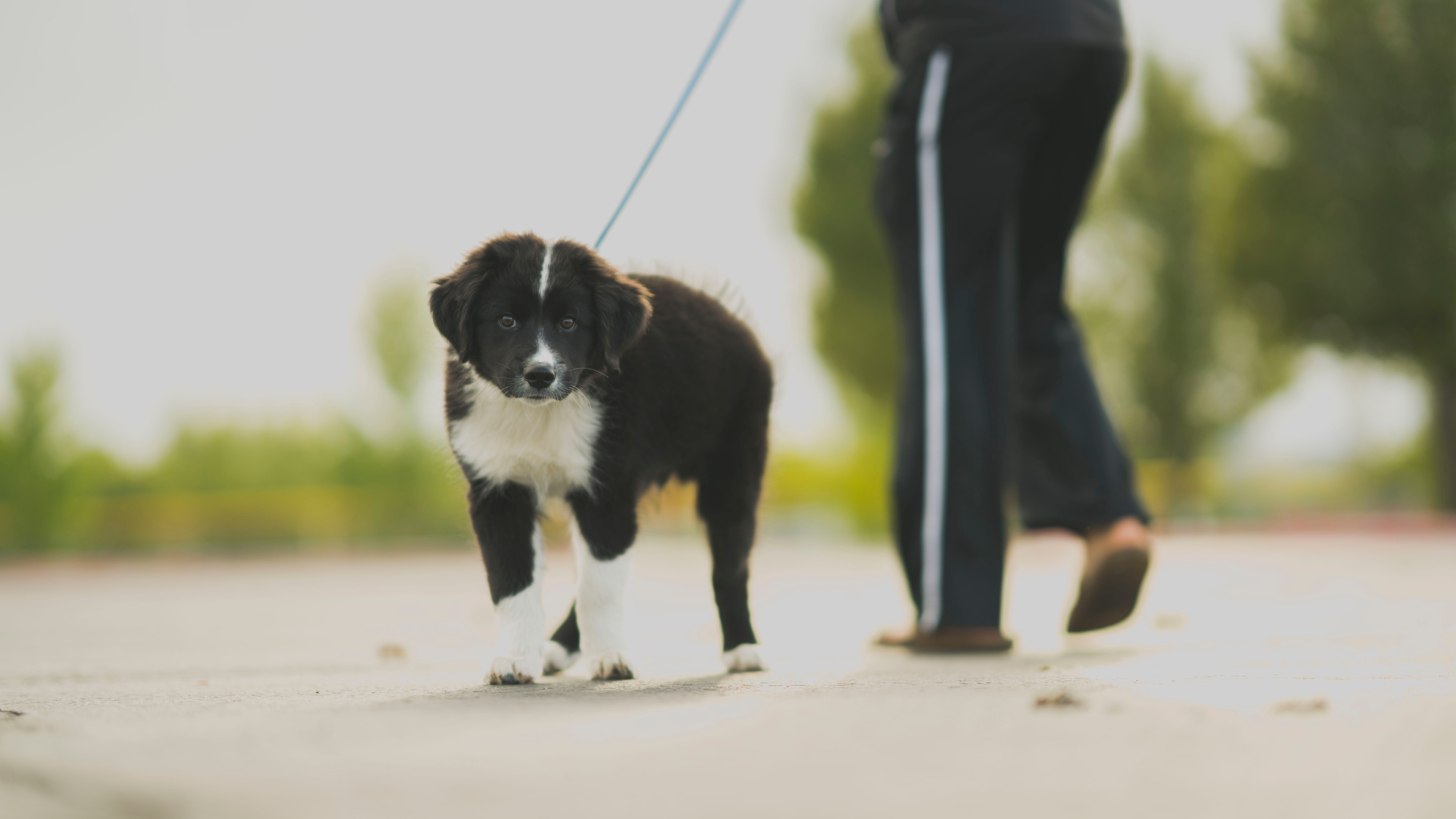 White and black border collie puppy walk beside person in track pants photo