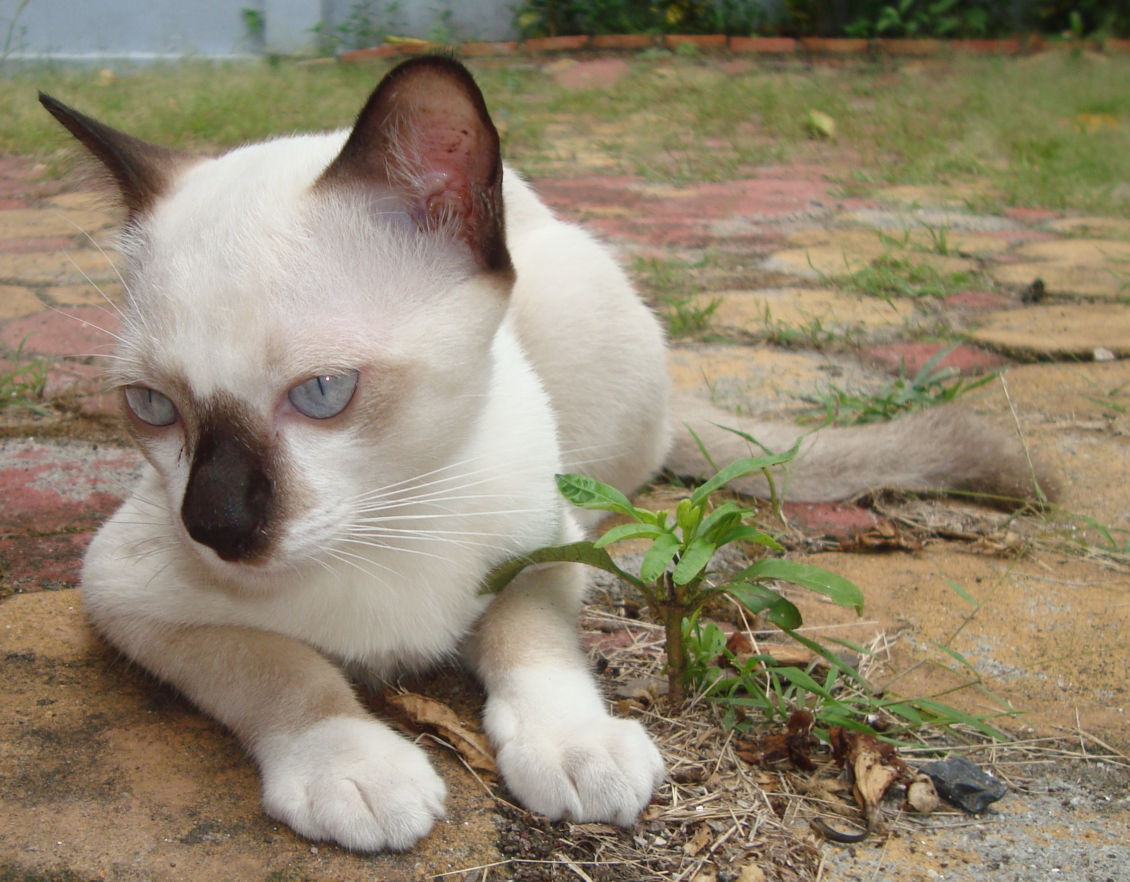 White and black burmese cat photo