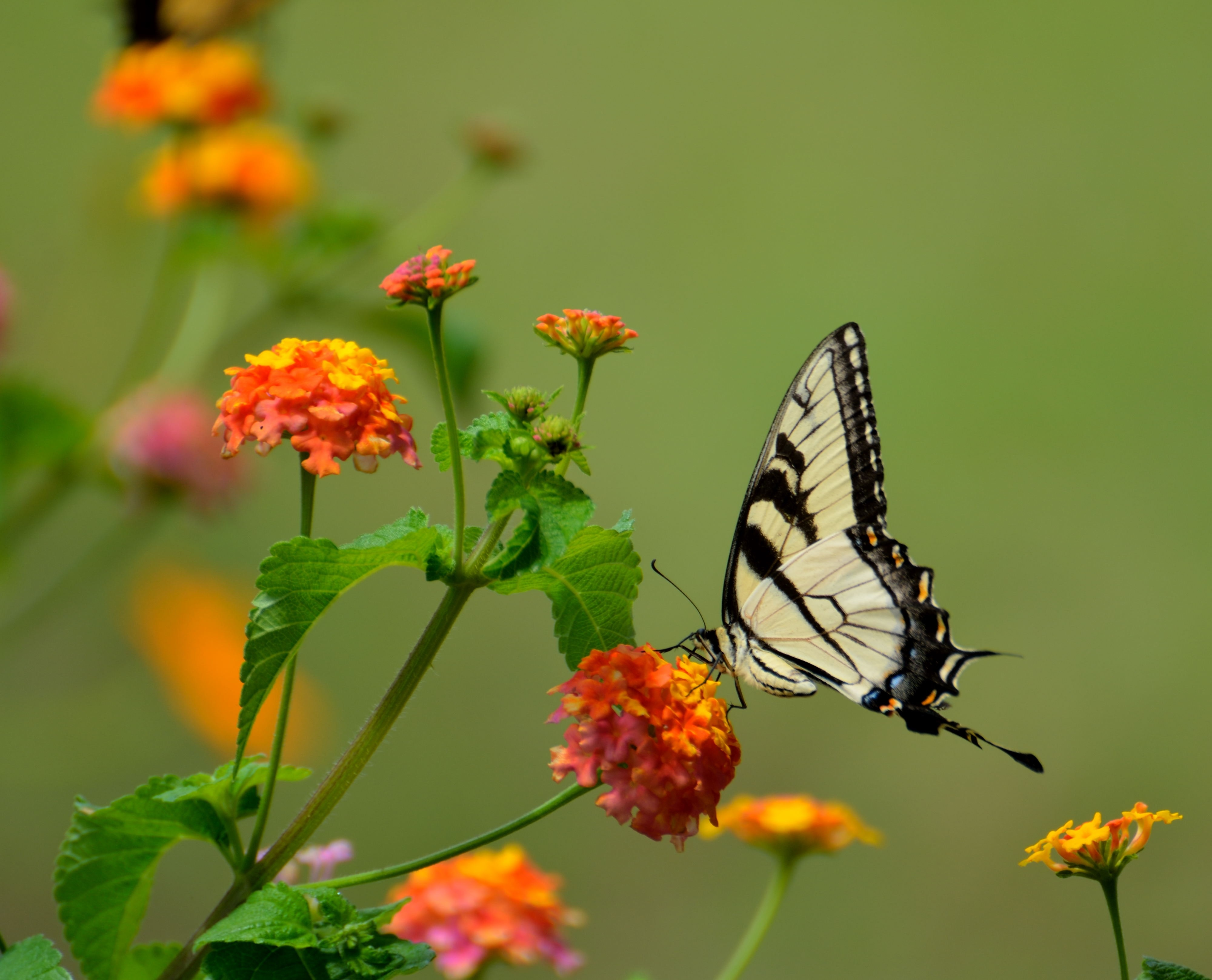 Free Photo White And Black Butterfly On Yellow Flower In Macro