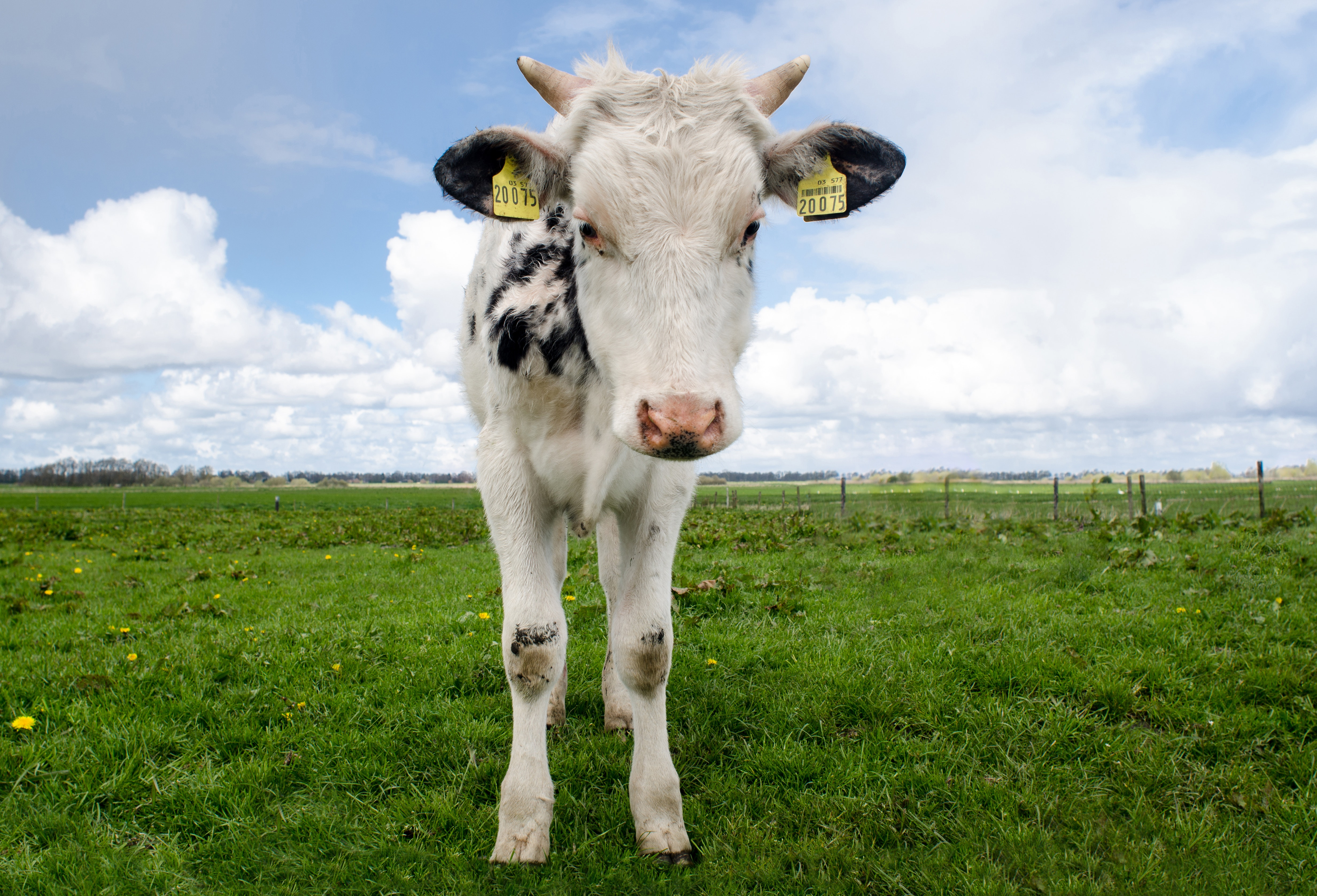 White and black cow during daytime photo