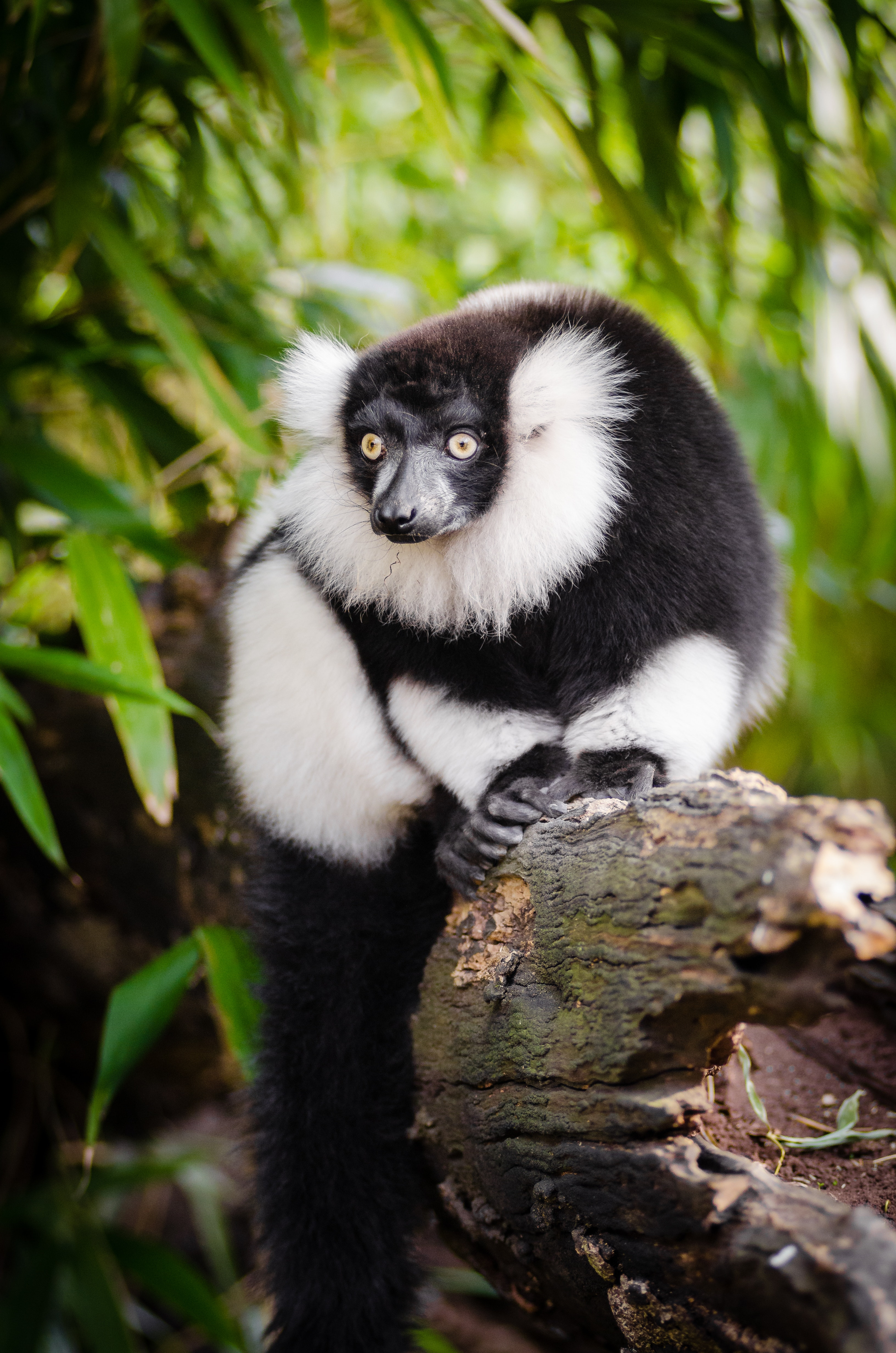 White and Black Long Coated Animal, Primate, Wood, Wildlife, Wilderness, HQ Photo