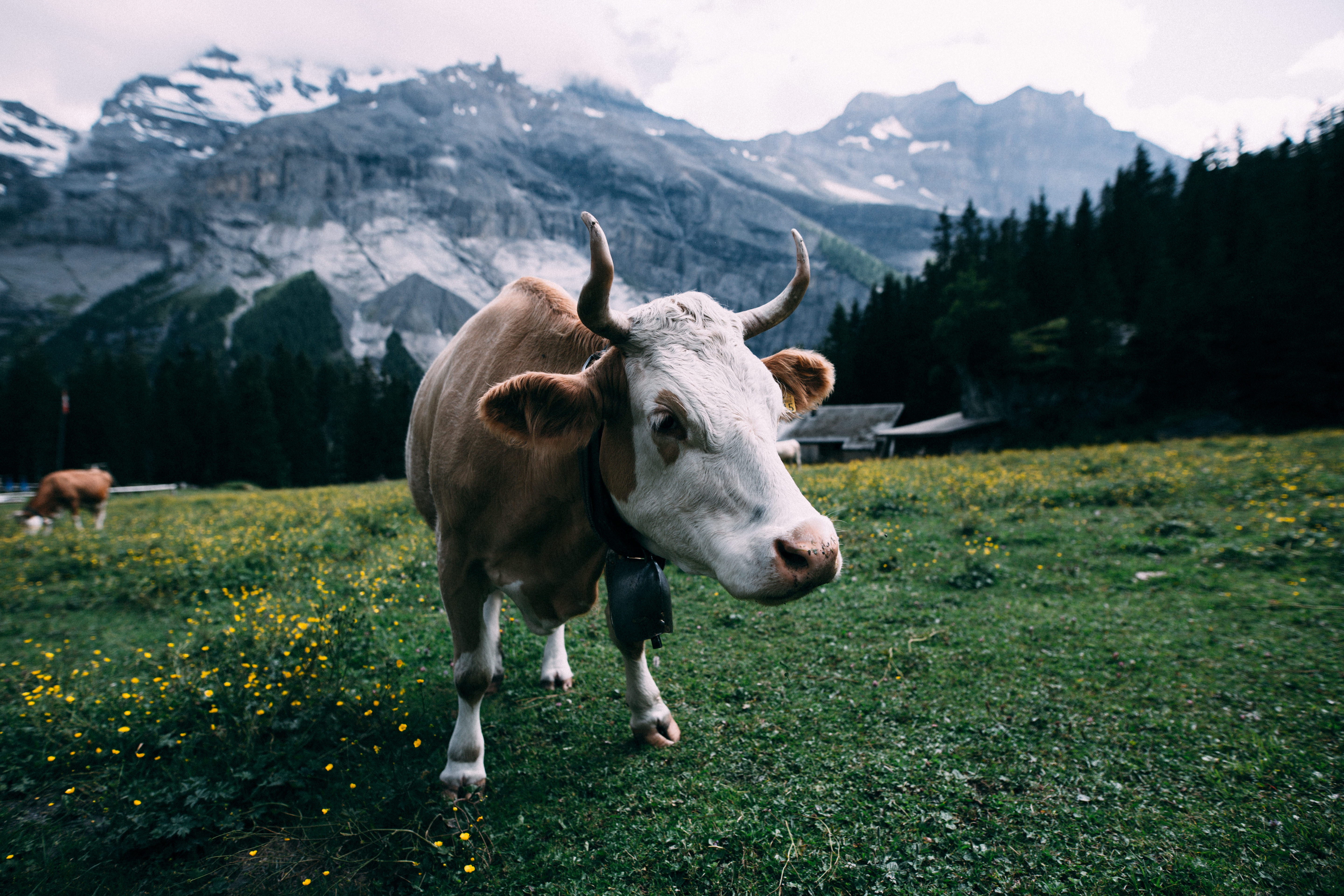 White and Brown Cow Near Mountain during Daytime, Agriculture, Horn, Switzerland, Rural, HQ Photo
