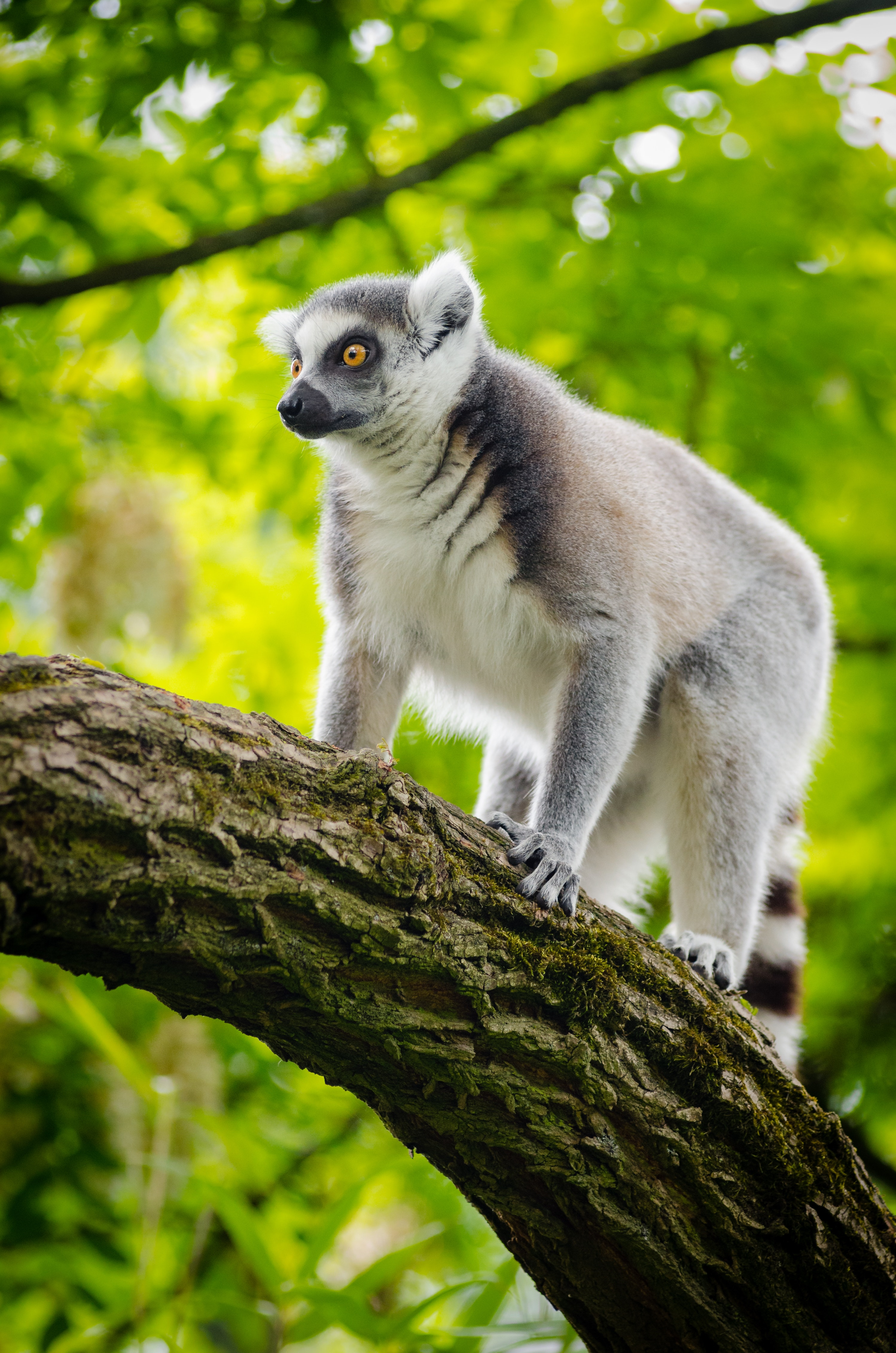White and gray lemur on tree trunk photo