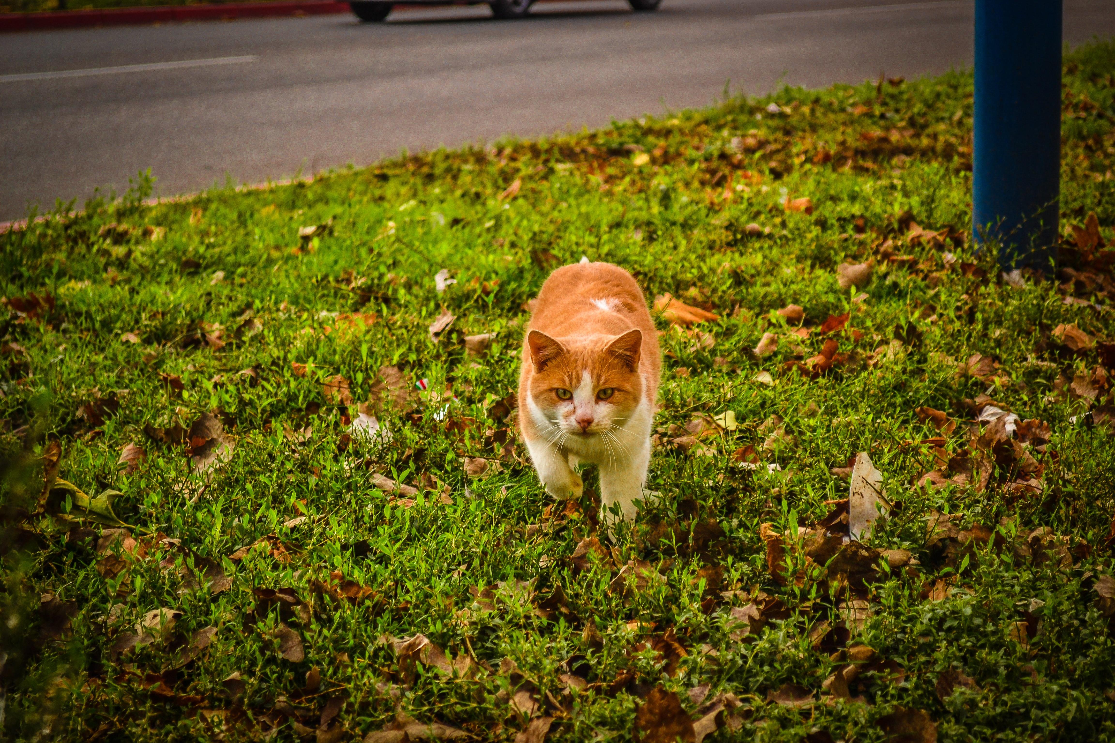 White and orange cat walking on green grass during dayime photo