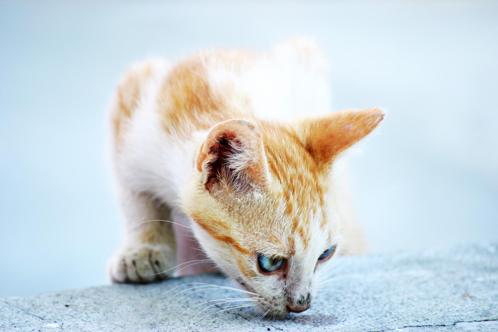 White and orange cat, Animal, Cat, Claws, Closeup, HQ Photo