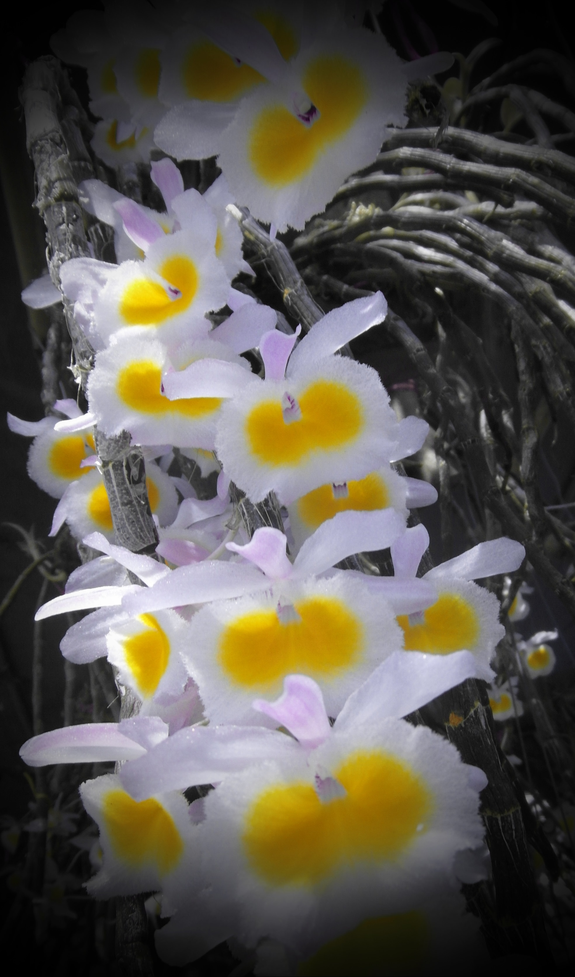 White and yellow orchid bloom photo