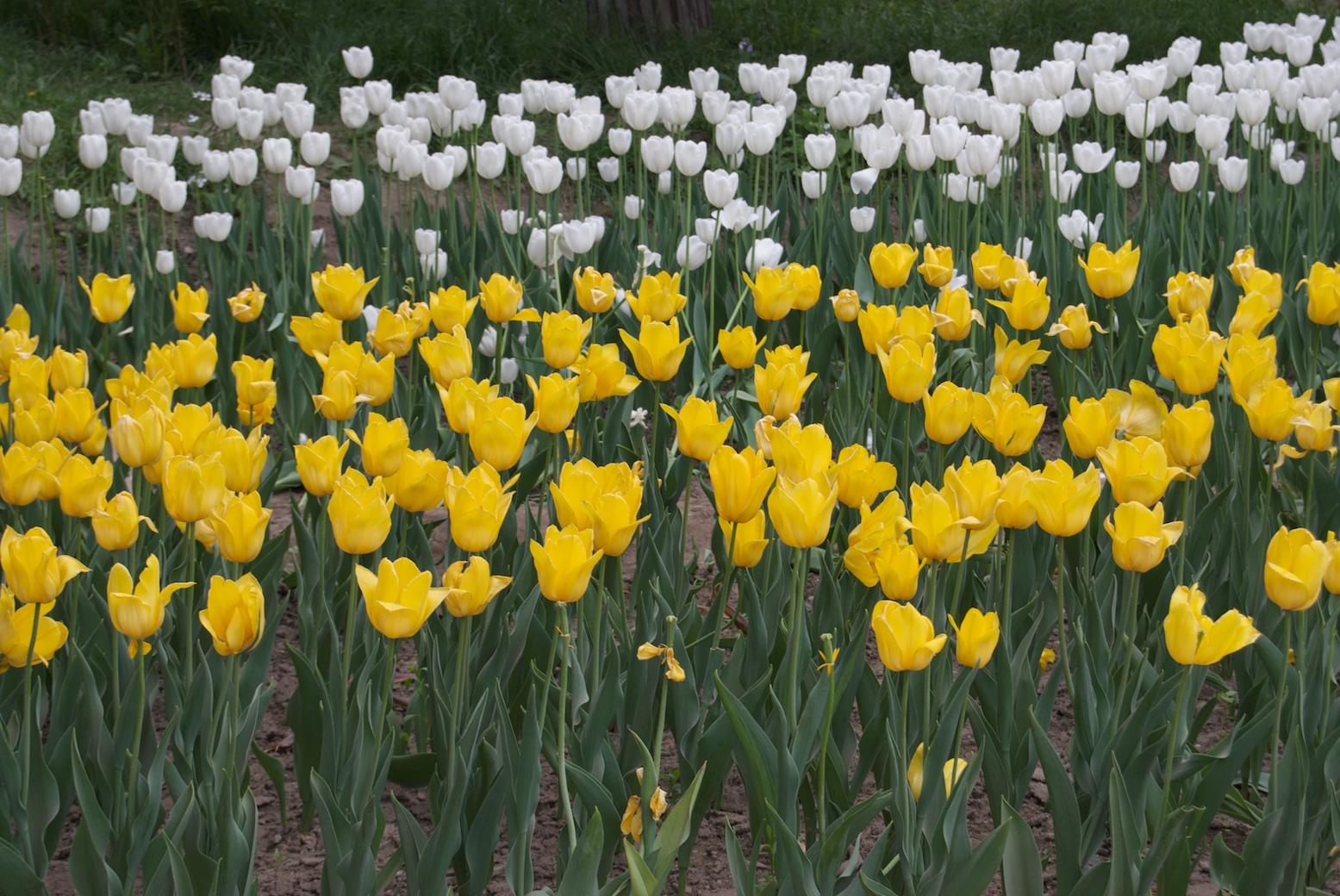 White and yellow tulips photo