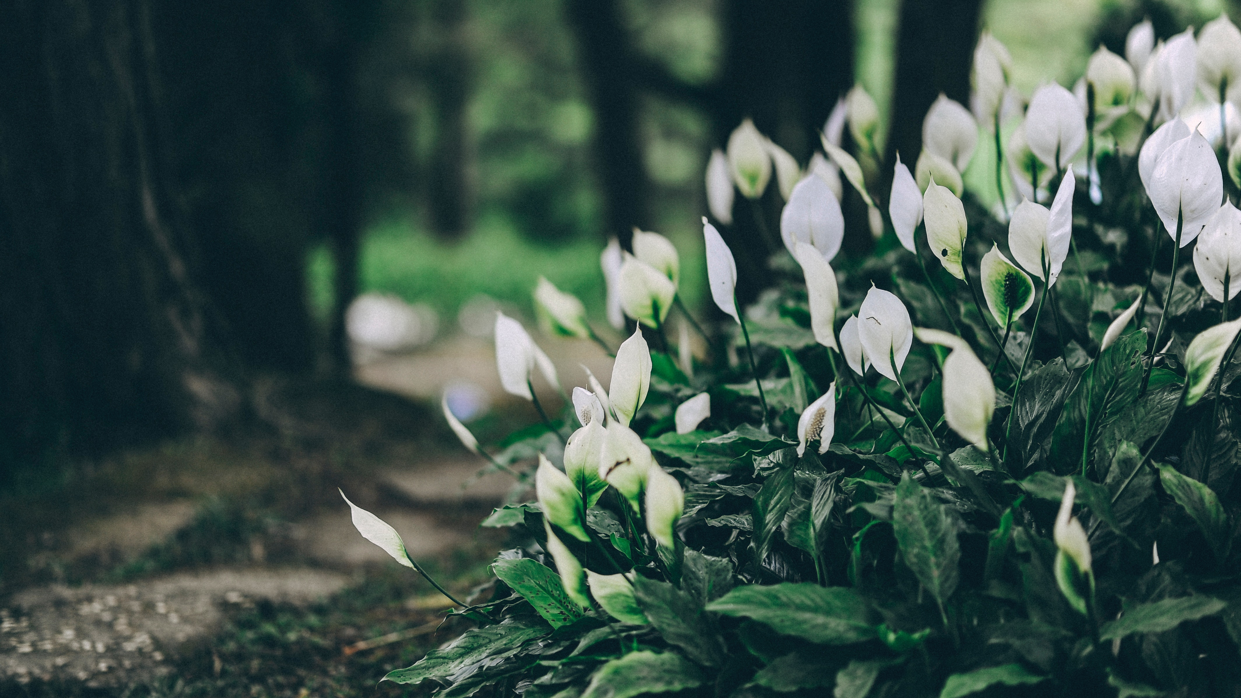 White Anthorium Flowers Near Brown Soil in Tilt Shift Lens Photography, Park, Petals, Outdoors, Nature, HQ Photo