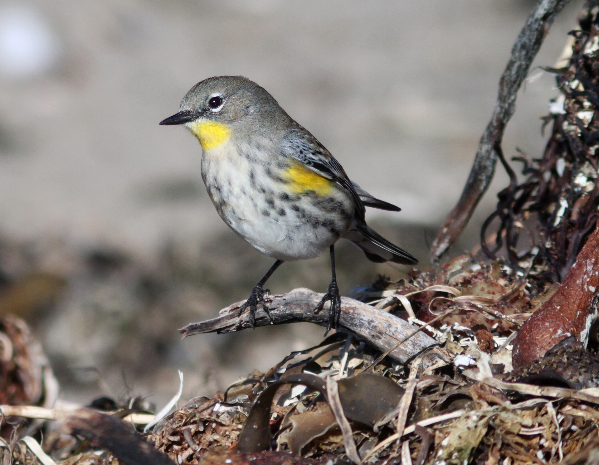 Free Images : nature, branch, white, wildlife, beak, macro, black ...