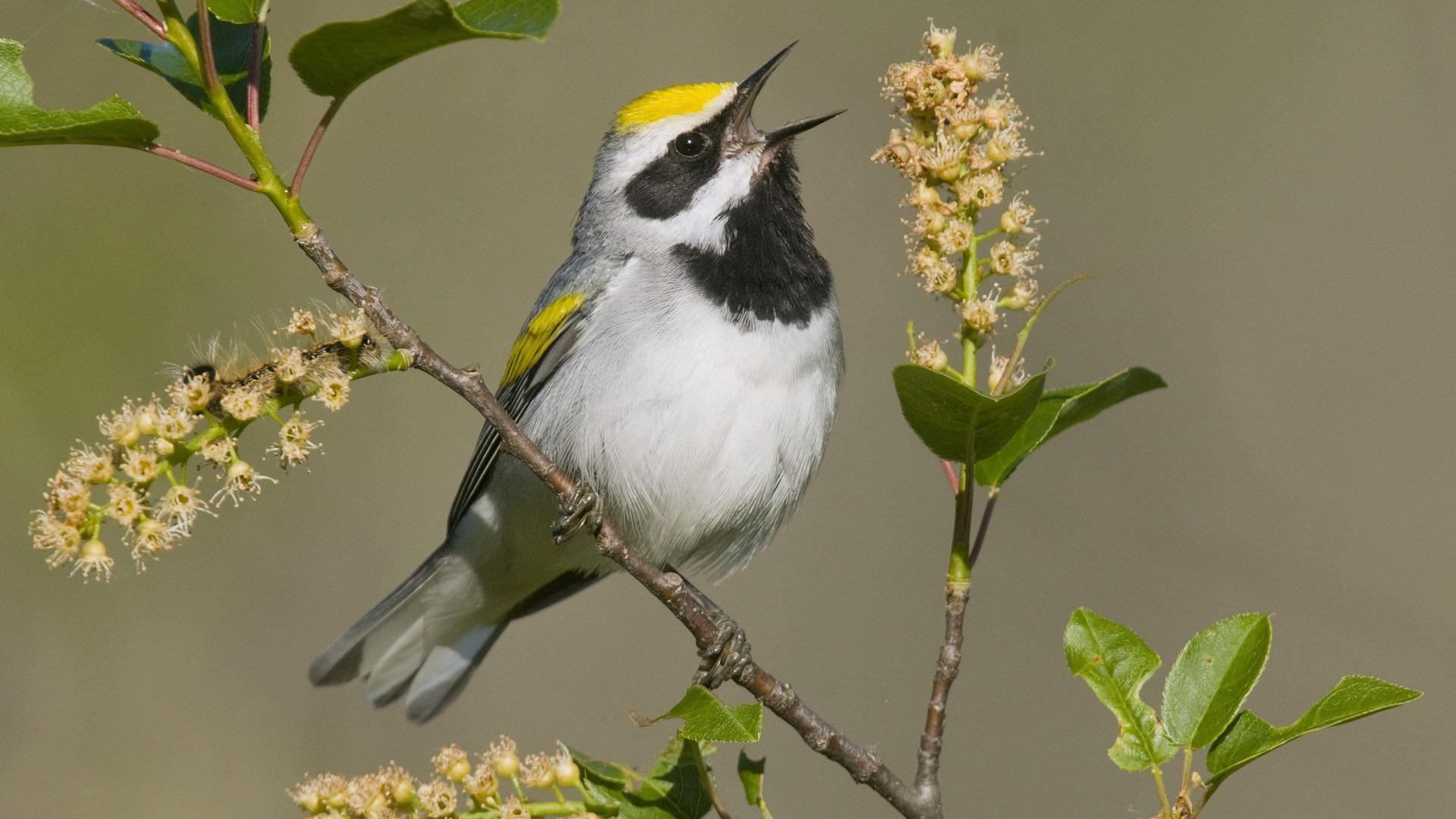 Yellow Topped Bird HD desktop wallpaper : Widescreen : High ...